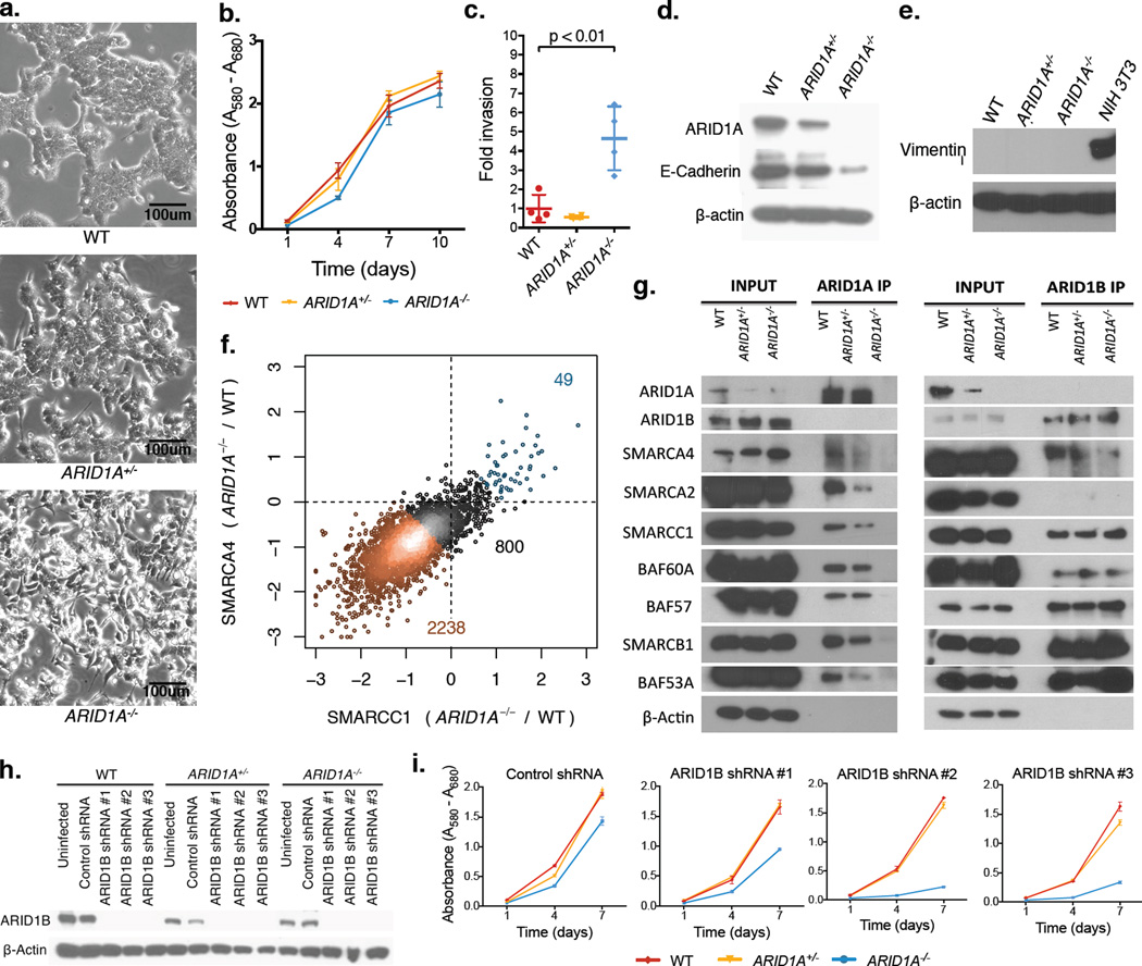 ARID1A loss causes defects in SWI/SNF targeting to chromatin a) Live cell morphology of HCT116 ARID1A WT, ARID1A +/− , and Arid1a −/− cells in culture; b) Proliferation measured by MTT assay, error bars show standard deviation of 3 measurements (technical replicates); c) Invasion measured by Matrigel-chamber based assay, error bars show standard deviation of 4 measurements (technical replicates); d) Protein levels of ARID1A, E-Cadherin, and β-actin; e) Protein levels of Vimentin and β-actin (Note: NIH 3T3 fibroblast cells included for positive control); f) Fold change (log 2 ) in SMARCA4 and SMARCC1 ChIP-Seq signals at SWI/SNF binding sites in Arid1a −/− cells relative to WT; g) Immunoprecipitation of SWI/SNF complexes using antibodies targeting ARID1A and ARID1B; h) Protein levels of ARID1B and β-actin following ARID1B knockdown with 3 independent shRNAs; i) Proliferation following shRNA-mediated ARID1B knockdown measured by MTT assay; error bars show standard deviation of 3 measurements (technical replicates).