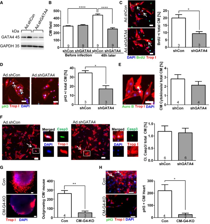 Reduced GATA 4 levels entail diminished cardiomyocyte proliferation in vitro Representative immunoblots for GATA4 and GAPDH (as loading control) of fetal cardiomyocytes treated with adenoviruses (Ad) expressing control shRNA (shCon) or shRNA against Gata4 (shGATA4) for 48 h. Number of cardiomyocytes (CM) in a defined low‐magnification (50×) microscopic field before the adenoviral infection and 48 h later. **** P