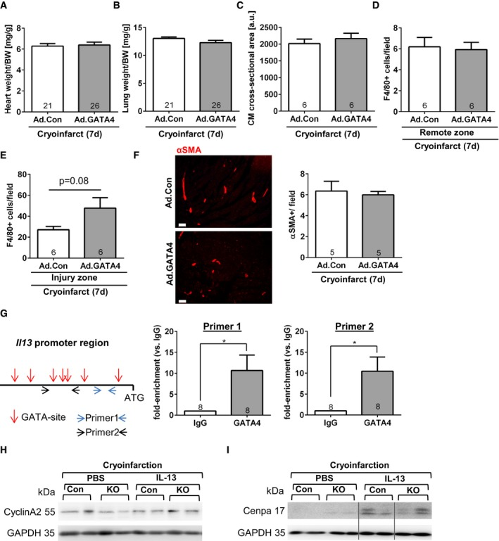 Additional characterization of GATA 4 overexpression and IL ‐13 in neonatal hearts Heart weight/body weight (BW) ratio of the indicated mice 7 days after sham surgery or cryoinfarction and application of adenoviruses as shown. Lung weight/body weight ratio of the indicated mice 7 days after sham surgery or cryoinfarction and application of adenoviruses as shown. Cardiomyocyte (CM) cross‐sectional area assessed 7 days after cryoinfarction in the indicated mice. Quantification of myocardial macrophage abundance (positive for F4/80) remote of the infarcted area of the indicated mice. Quantification of myocardial macrophage abundance (positive for F4/80) within the infarcted area of the indicated mice. Myocardial immunofluorescence staining for αSMA in mice 7 days after cryoinjury and treatment with the indicated viruses. Quantification of small αSMA‐positive small conductance vessel (˜20–50 μm in diameter) in the myocardium of mice as shown. Scale bars: 50μm. Scheme of the mouse Il13 promoter region (˜700 bp) before the ATG translational start sites, GATA binding regions are marked by a red arrow, and the primers used are indicated by blue or black arrows. On the left, the results of a chromatin immunoprecipitation assay from neonatal hearts 7 days after cryoinjury and after immunoprecipitation with control IgG or GATA4 are shown. * P = 0.0197 for primer 1 and * P = 0.0142 for primer 2. Representative immunoblots for cyclin A2 and GAPDH from hearts of the mice as indicated (con = control, KO = CM‐G4‐KO). Representative immunoblots for cenpa and GAPDH from hearts of the mice as indicated. All lanes were run on the same gel but were non‐contiguous where indicated by the gray lines. Data information: (A–G) The number within bars indicates the number of mice analyzed in that particular group. All data are expressed as mean ± SEM. Unpaired Student's t ‐test was used to compare groups.