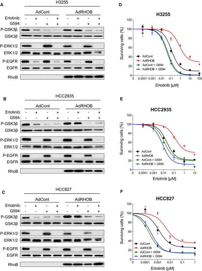 G594 prevents GSK3β phosphorylation in RHOB‐overexpressing cells treated with erlotinib and reverses RHOB‐induced resistance H3255 (A), HCC2935 (B), and HCC827 (C) cells were transduced with control (AdCont) or RHOB‐overexpressing (AdRHOB) adenoviruses and treated for 4 h with erlotinib (100 nM), G594 (100 nM), or a combination of both drugs. The phosphorylation status of GSK3β (Ser9), ERK1/2, and EGFR (Tyr1173) was assessed by Western blotting and normalized according to the total protein levels. RHOB overexpression was also monitored by Western blotting. H3255 (D), HCC2935 (E), or HCC827 (F) cells were transduced with control (AdCont) or RHOB‐overexpressing (AdRHOB) adenoviruses and treated for 72 h with erlotinib alone (black and red curves) or in combination with the AKT inhibitor G594 at 100 nM (green and blue curves). The surviving cell fraction was determined by an MTS assay. Data are expressed as mean ± SEM from three independent experiments. Source data are available online for this figure.