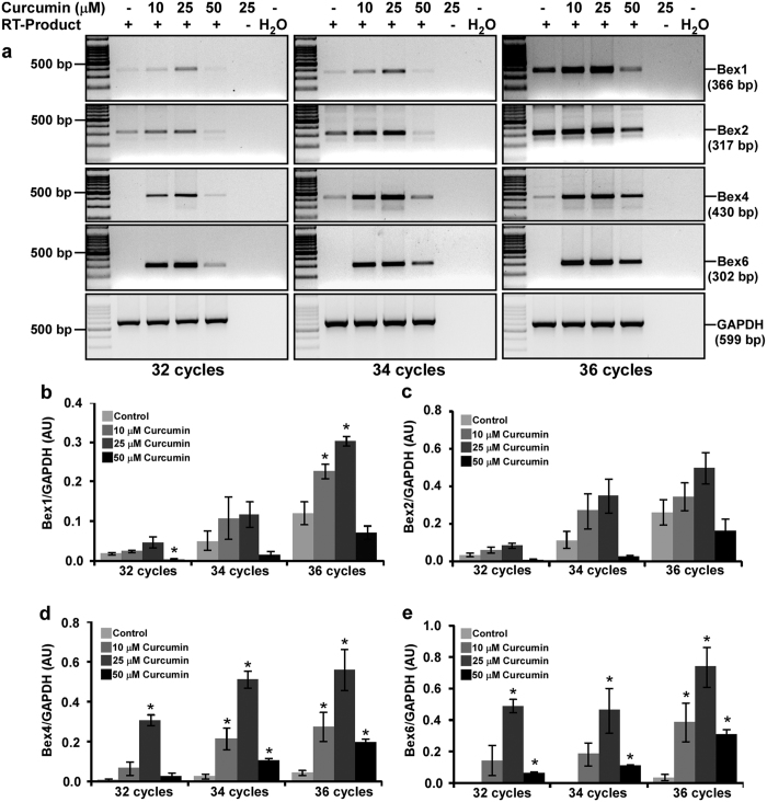 Curcumin induces Bex genes in N2a neuroblastoma cells in a dose-dependent manner. ( a ) N2a cells (3 × 10 5 cells) were cultured for two days in 25 cm 2 flask, serum starved for 2 hours and treated either with 10, 25 or 50 μM of curcumin or with equal amount of DMSO (controls) in serum free media for 2 hours. Total RNA was isolated by Trizol reagent and treated with DNase I to remove any DNA contamination. Reverse transcription on 5 μg of DNA-free RNA was performed and Bex cDNAs were amplified either for 32, 34 or 36 PCR cycles. Agarose gel electrophoresis shows a dose-dependent induction of Bex genes by curcumin. The original gel images are shown in Supplementary Fig. S9 . Densitometric analysis of Bex1 ( b ), Bex2 ( c ), Bex4 ( d ) and Bex6 ( e ) mRNA amplicons was performed using Image lab software and values obtained were normalized with respective GAPDH band intensity, and were plotted as histograms of mean ± standard error of mean from three independent experiments. P-values displayed were calculated by two-tailed, unpaired Student's t-test and * = p ≤ 0.05 is considered statistically significant.