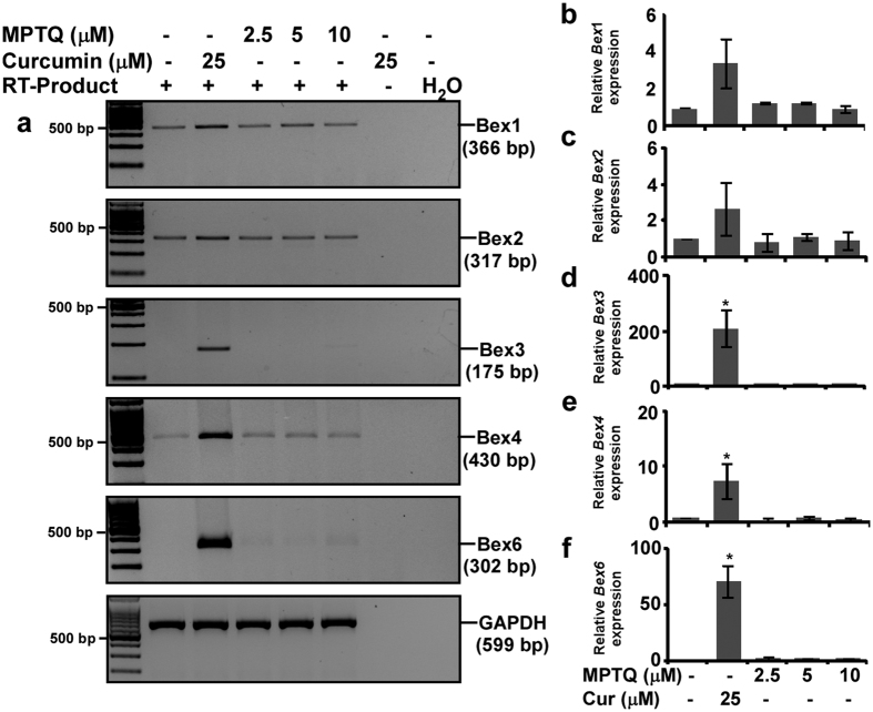 Curcumin is a specific inducer of all the Bex genes. ( a ) Approximately 80% confluent N2a cells were serum starved for 2 hours and treated with either 2.5, 5, 10 μM of MPTQ or 25 μM of curcumin in serum free DMEM for 4 hours. Equivalent amount of DMSO treated N2a cells were considered as controls. Total RNA was isolated, DNase I treated and expression of Bex mRNAs was studied by RT-PCR analysis. GAPDH was used as loading control. The original gel images are shown in Supplementary Fig. S11 . Densitometric analysis of Bex1 ( b ), Bex2 ( c ), Bex3 ( d ), Bex4 ( e ) and Bex6 ( f ) PCR products was performed and normalized with corresponding GAPDH band intensity. Values are displayed as histograms of mean ± standard deviation from three independent experiments, which indicates induction of all endogenous Bex genes are observed in curcumin but not in MPTQ treated N2a cells. P-values displayed were calculated by using two-tailed, unpaired Student's t-test and * = p ≤ 0.05 is considered statistically significant.