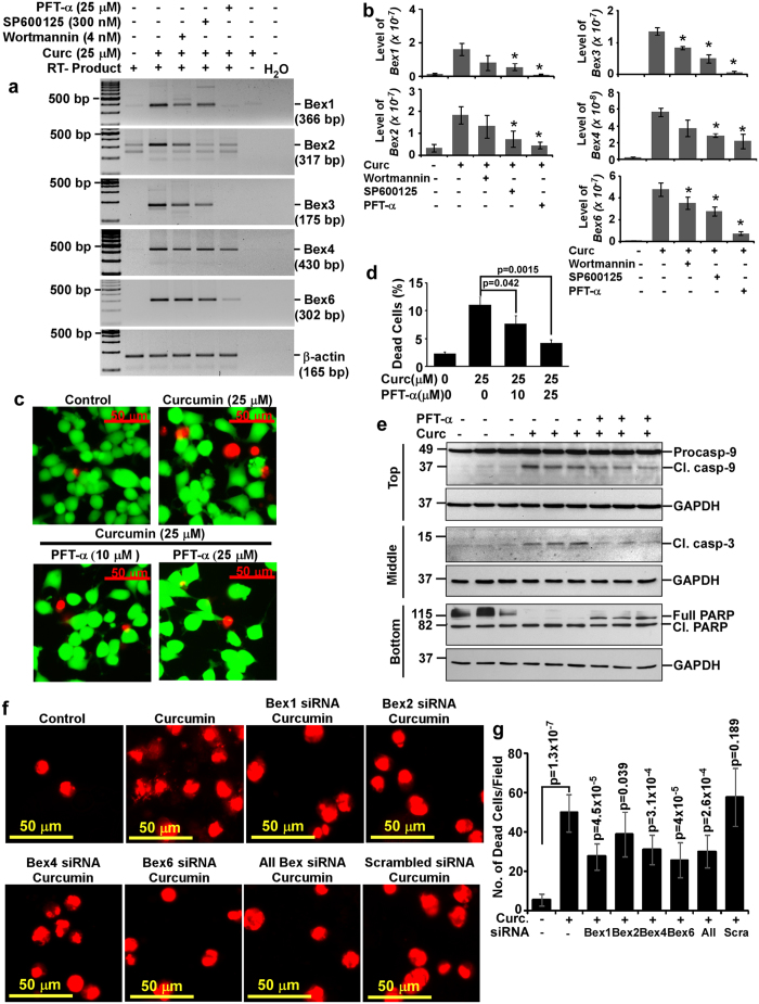 Molecular mechanisms involved in the induction of Bex genes and its association with curcumin-mediated N2a neuroblastoma cells apoptosis. ( a ) Approximately 80% confluent N2a cells were treated with wortmannin (4 nM), SP600125 (300 nM) or pifithrin-α (25 μM) for 30 minutes after two hours of serum starvation. Cells were then treated with either curcumin (25 μM) alone or along with these inhibitors. DMSO treated cells were used as controls. Total RNA was isolated at 4 hours of curcumin treatment. DNA-free RNA was used for RT-PCR analysis as described earlier, which demonstrates wortmannin, SP600125 and pifithrin-α abrogate curcumin-mediated induction of Bex genes. The original gel images are shown in Supplementary Fig. S12 . ( b ) Intensities of Bex1, Bex2, Bex3, Bex4 and Bex6 PCR products were measured and normalized values were displayed as histograms of mean ± standard error from three independent experiments. ( c ) LIVE/DEAD analysis was performed as described earlier except pifithrin-α was treated 30 minutes before curcumin treatment. Multiple images were captured and displayed with equal image settings. ( d ) Percentage of dead cells in each group was calculated from three independent experiments and plotted as histograms. ( e ) Cell lysates were prepared after 24 hours either from DMSO or curcumin (25 μM) alone or along with pifithrin-α (25 μM) treated N2a cells. Western blotting was performed using antibodies against caspase-9, caspase-3 or PARP1. GAPDH immunoblotting was used as loading and transfer control. The original immunoblot images are shown in Supplementary Fig. S13 . ( f ) N2a cells were transfected with Bex1, 2, 4 or 6 siRNA duplexes either individually or in combination for 72 hours followed by curcumin (25 μM) treatment for 24 hours. Scrambled siRNA transfected N2a cells were used as negative controls. Untransfected N2a cells treated with 25 μM of curcumin or DMSO were used as positive and negative controls respectively. LIVE/DEAD assay was perf