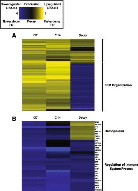 Gene expression and RNA stability heatmap for the top upregulated a and downregulated b genes with quiescence. Columns 1 and 2 are the log 2 fold change in gene expression with quiescence \documentclass[12pt]{minimal} \usepackage{amsmath} \usepackage{wasysym} \usepackage{amsfonts} \usepackage{amssymb} \usepackage{amsbsy} \usepackage{mathrsfs} \usepackage{upgreek} \setlength{\oddsidemargin}{-69pt} \begin{document}$$ \left({ \log}_2\left(\frac{CI7 Abundance}{PAbundance}\right)\right) $$\end{document} ( log 2 ( C I 7 A b u n d a n c e P A b u n d a n c e ) ) from microarray gene expression profiling of 7-day contact inhibited (CI7) and 14-day contact inhibited (CI14) fibroblasts. Column 3 is the log difference in decay constants ( K D proliferation − K D quiescence ) shrunken by the local false discovery rate (see Methods ) scaled to fit within the bounds of the gene expression values between CI7 and P fibroblasts. Gene ontology terms that are significantly enriched in a cluster are marked to the right of the heatmap