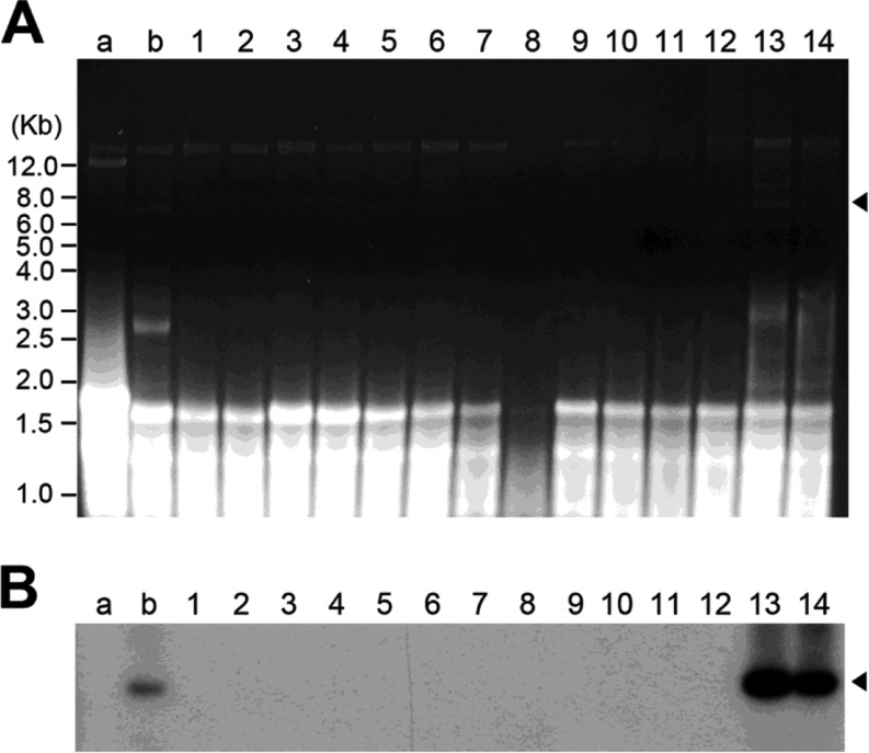 "A, Ethidium bromide-stained agarose gel of dsRNA. Lanes a and b contain dsRNA extracts from two representative strains of Lentinula edodes FMRI0339 <t>mycovirus</t> (LeV-FMRI0339) and Pleurotus ostreatus ASI2792 mycovirus (ASI2792-PoV) with the characteristic 12-kb viral genome of LeV and approximately 8.0-kb viral genome of ASI2792-PoV, respectively. Lanes 1 to 14 contain dsRNA extracts from 14 isolates obtained by the mycelia fragmentation method described in ""Materials and Methods""; B, Northern blot analysis of the corresponding gel with the dsRNA using a partial <t>cDNA</t> clone (792 bp) encoding the RNA-dependent RNA polymerase (RdRp) protein in the PoV-ASI2792 as a probe. Arrowheads indicate the mycovirus genome segment from PoV-ASI2792."