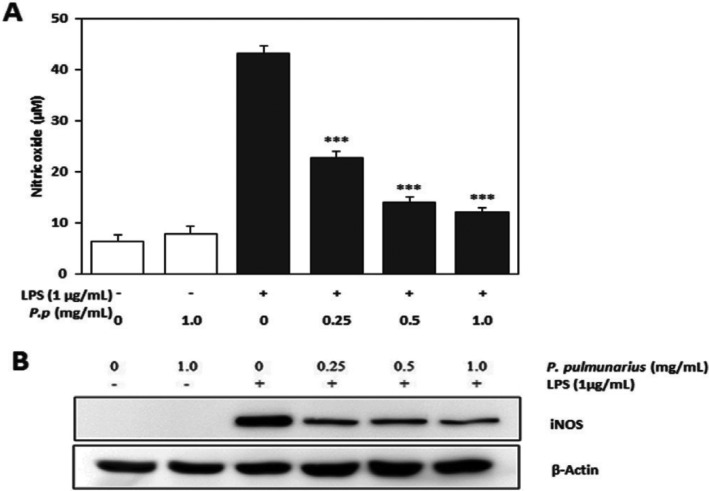 Inhibitory effect of Pleurotus pulmunarius methanol extract on lipopolysaccharide (LPS)-induced nitric oxide production and expression of inducible nitric oxide synthase (iNOS) in RAW 264.7 cells. A, Nitric oxide production; B, Expression of iNOS. β-Actin was used as an internal control. Accumulated nitric oxide in the culture medium was determined by the Griess method. The values are means ± SD (n = 3). *** p ≤ 0.001 vs. LPS treated group.