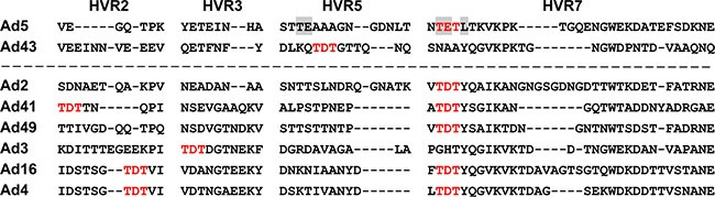 Alignment of Ad43 hexon HVRs 2, 3, 5, and 7 with HVRs of FX-binding hexons The Ad5 hexon amino acids residues in HVR5 and HVR7 involved in binding FX [ 10 ] are highlighted in gray; none of them is present in the Ad43 hexon. Shown in bold red are the TET tripeptide (in the Ad5 hexon's HVR7) previously implicated in FX binding [ 5 ] and its homologue, TDT, whose presence in HVRs of other Ads hexons correlates strongly with reported binding to FX. Of the human Ad serotypes whose binding to FX was tested and confirmed [ 5 ], seven contain TDT in their hexons. Six of these Ads are shown below the dashed line.