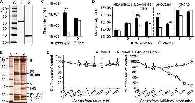 Increased expression of the F 43S5 11F Her2:7 chimera yields an Ad43 vector that is capable of efficient Her2-specific transduction and is not neutralized by <t>anti-Ad5</t> Abs The western blotting (panel A ) and SDS-PAGE (panel B ) of CsCl-purified virions (10 10 VP/lane) of Ad43TL.F 43S5 11F Her2:7 amplified in 293F 43S5 11F Her2:7 cells (lane 1), and Ad43TL (lane 2). FC, the F 43S5 11F Her2:7 fiber chimera. The images shown in panel 7A and 7B have been cropped and regrouped. The gene transfer to 293/Her2 and 293 cells (panel C ), and tumor cell lines expressing Her2 (panel D ). The Zher2-7 affibody was used as a Her2-specific inhibitor (panel D only). Ad43TL.F 43S5 11F Her2:7 , 1; Ad43TL, 2. The Her2-negative MDA-MB-231 cells, a parental line for Her2-expressing MDA-MB-231/Her2 cells, are shown as a control. ( E ) In vitro vector neutralization assay. The sera obtained from naïve or Ad5-immunized mice were added to 293/Her2 cells prior to transduction with Ad5TL or Ad43TL.F 43S5 11F Her2:7 vectors. The levels of transgene expression in transduced cells relative to expression level seen in the absence of serum are shown. The sera dilution factors are shown below the graphs. NS, no serum. In panels C, D, and E, data are shown as the mean of three replicates; error bars show the standard deviations. * p