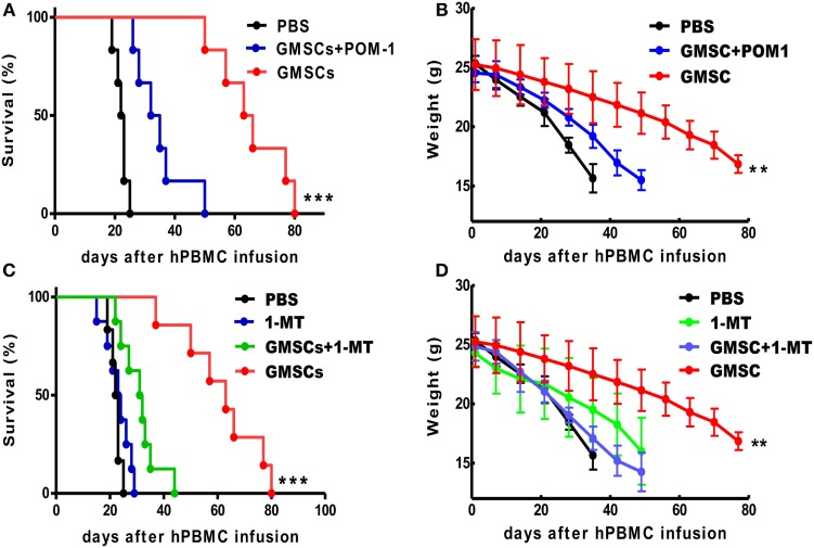 GMSCs inhibit xenogenic GVHD through CD39 and/or IDO signaling pathways . NOD/SCID mice were injected with 20 × 10 6 PBMC with or without 2 × 10 6 GMSCs ( n = 8). (A,B) Some GMSC cells were pretreated with POM-1 (100 µm) overnight before co-injection with PBMC ( n = 11). (C,D) In another group, mice giving human cell alone or human cells plus GMSCs were injected i.p. with 1-MT at 10 mg/mouse/day for 14 consecutive days ( n = 10) and then monitored for survival and weight loss. Kaplan–Meier survival curves depict the percentage of live mice. (B,D) The weight loss data were presented as the Mean ± SEM from two independent experiments. ** p