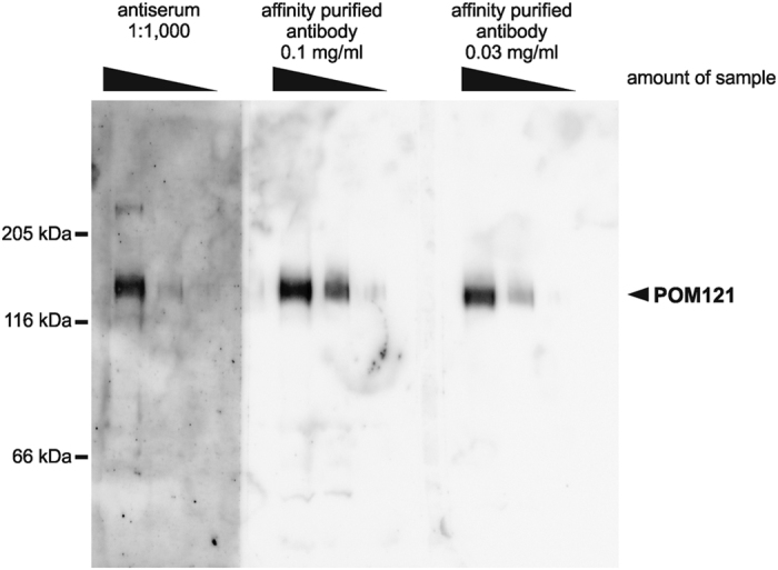 Antisera raised against MISTIC-fusion proteins can be efficiently affinity purified. An antiserum raised against a MISTIC-fusion with the full-length transmembrane nucleoporin POM121 was affinity purified using the MISTIC-POM121 protein coupled to Affigel 10 matrix as bait. The unpurified antiserum (at a 1:1,000 dilution) as well as the affinity purified antibodies (at a 0.1 mg/ml and 0.03 mg/ml dilution) were tested by western blotting after 6% SDS-PAGE of 10 μg, 3 μg and 1 μg of a total membrane fraction from Xenopus egg extracts. Molecular size markers as well as the position of POM121 are indicated.