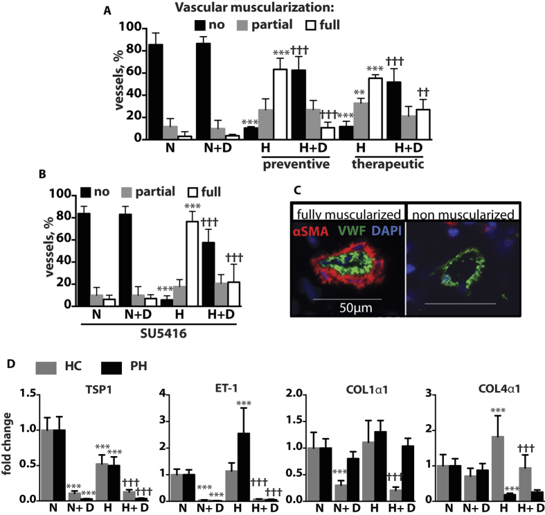 DMF inhibits vascular muscularization in hypoxic, hypoxic/SU5416 mice and suppresses hypoxia-induced gene expression in human PASMCs. (A,B) Intra-acinar vessels ranging from 20 to 70 μm in size were counted and categorized into non muscularized, partially muscularized, or fully muscularized. n = 4 mice per group. (C) Representative pictures of immunostaining of mouse lung sections with anti-vWF and anti-αSMA antibodies. (D) Smooth muscle cells were incubated in hypoxia ( H ) (1% O 2 ) or normoxia (N) for 24 h with 50 μM DMF or DMSO. Relative gene expression was measured with qPCR. n = 1 donor for healthy control (HC) and n = 2 donors for pulmonary hypertension (PH) cell lines. Two independent experiments were performed, each in triplicate. *P versus normoxia(N); † P versus hypoxia(H). Data shown as mean ± SD. *P
