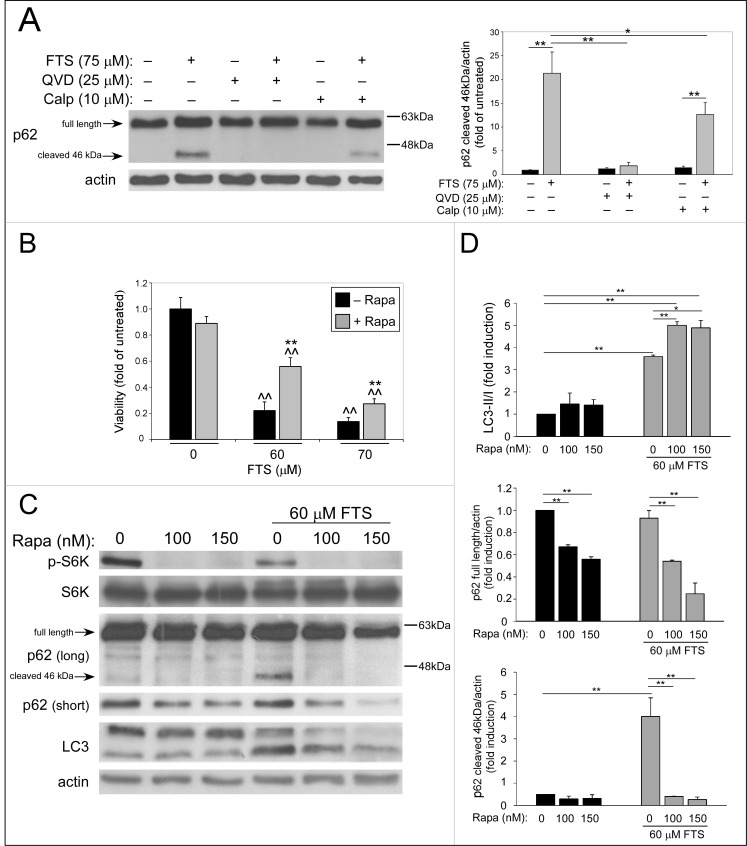 QVD, Calpeptin and rapamycin treatments inhibit the FTS-induced p62 cleavage. (A) CTRL HCT-116 cells were treated with 75 μM FTS for 48 h, in the presence or in the absence of 25 μM QVD-OPH or 10 μM calpeptin (Calp) and then subjected to immunoblot analysis using anti-p62 antibodies. Left panel , representative blot is shown. Right panel , densitometric analysis of the results is presented as fold induction over the untreated cells (mean ± SE; *, p