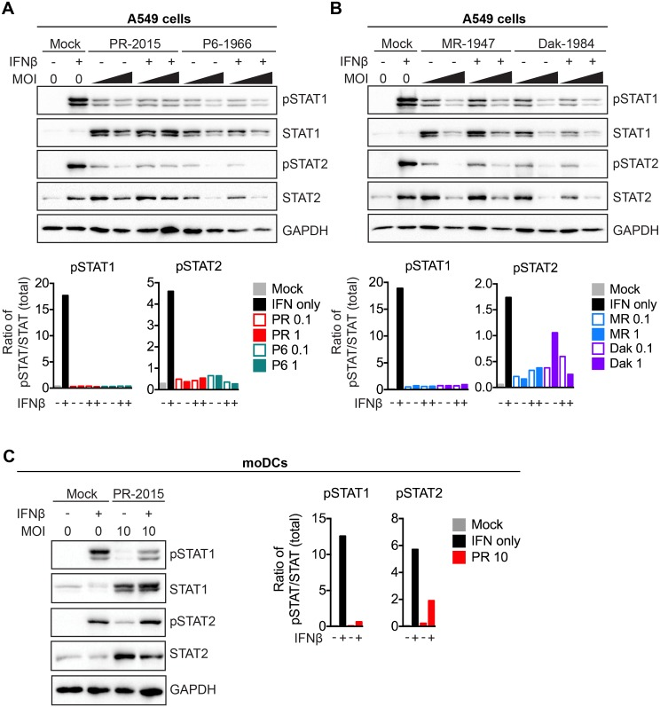 ZIKV antagonizes type I IFN signaling. (A, B) A549 cells were infected with PR-2015, P6-1966, MR-1947, or Dak-1984 at MOIs of 0.1 and 1. At 48hpi, cells were pulse treated with 1000 IU/mL of recombinant human IFNβ for 30 minutes and whole-cell lysates were collected for western blot analysis of phospho-STAT1 (Tyr701), phospho-STAT2 (Tyr689), STAT1, STAT2, and GAPDH. Representative blots are shown from one of two independent experiments. Quantitation is shown below the representative blots, where intensity values are represented as the ratio of pSTAT:total STAT protein. (C) moDCs were infected with PR-2015 (MOI 10) and STAT1 and STAT2 signaling was assessed as in A and B. Data is representative of three donors from two independent experiments. Quantitation is shown to the right of the representative blots, where intensity values are represented as the ratio of pSTAT:total STAT protein.