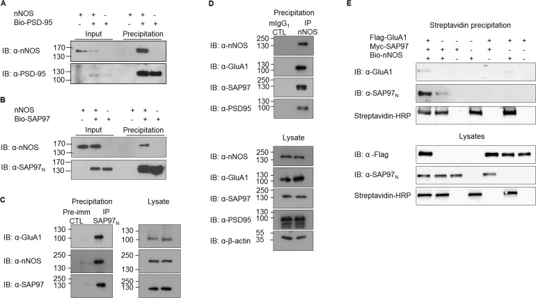 Association of SAP97 with nNOS. (A, B) Binding of nNOS to biotinylated MAGUK proteins PSD-95 (A) and SAP97 (B) shown in streptavidin pulldown assays. (C) GluA1 and nNOS co-immunoprecipitate with SAP97 in detergent extracts from postnatal day 7 rat cortex. SAP97 N-terminal domain–specific antiserum (SAP97 N ) was used for the immunoprecipitation, whereas the corresponding preimmune serum served as a control (CTL). The panel on the right shows the lysates. (D) GluA1, SAP97 and PSD-95 co-immunoprecipitate with nNOS in detergent extracts from postnatal day 7 rat cortex. Monoclonal nNOS antibody was used for specific immunoprecipitation, whereas monoclonal anti-MAP-2 served as control. Lysates are shown in the lower panel. (E) Streptavidin pulldown assay showing association of GluA1 to biotinylated nNOS. Immunoblots show representative images of experiments performed three or more times.