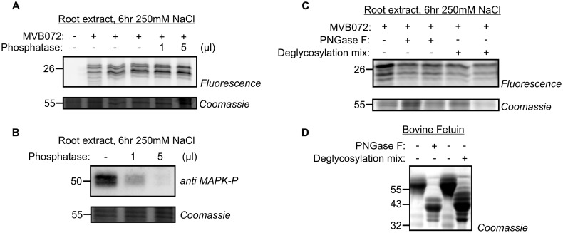 Phosphatase and glycosidase treatments do not affect altered proteasome activity profile. (A) Root extracts of 250 mM treated samples, labeled by MVB072 were treated with alkaline phosphatase at different conditions. (B) Dephosphorylation of MAP kinase, used as a positive control, detected by an anti-phosphoMAPK antibody. (C) Root extracts of 250 mM treated-samples, labeled by MVB072 were treated with and without PNGase F or <t>deglycosylation</t> mix. (D) Enzymatic deglycosylation of Bovine <t>Fetuin</t> was used as a positive control.