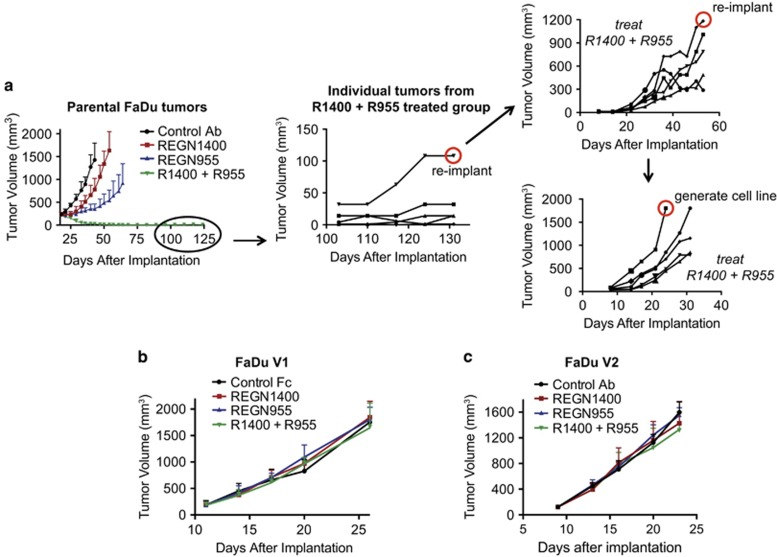 Generation of FaDu cell lines resistant to EGFR/ERBB3 blockade. ( a ) Severe combined immunodeficiency (SCID) mice bearing established FaDu tumors (~200 mm 3 in volume) were randomized and treated continuously with control antibody (12.5 mg/kg), REGN1400 (ERBB3-blocking antibody; 2.5 mg/kg), REGN955 (EGFR-blocking antibody; 10 mg/kg) or the combination of REGN1400 plus REGN955. The line graph depicts the average tumor volumes over the course of treatment. Error bars show the s.d. A tumor in a combination-treated mouse that began to regrow at ~110 days after implantation (middle panel) was harvested and fragments of this tumor were re-implanted into mice. A tumor fragment that grew rapidly in the face of REGN1400 plus REGN1955 combination treatment was harvested (top right panel shows the growth of individual re-implanted fragments) and the re-implantation and treatment procedure was repeated. Finally, a tumor growing rapidly under combined EGFR/ERBB3 blockade was harvested (bottom right panel) and used to generate a resistant cell line. ( b and c ) Cultured FaDu V1 or V2 cells were implanted into SCID mice to generate tumors. Mice bearing established tumors were randomized and treated twice per week with control antibody or Fc protein (12.5 mg/kg), REGN1400 (2.5 mg/kg), REGN955 (10 mg/kg) or the combination of REGN1400 plus REGN955. The line graphs depict the average tumor volumes over the course of treatment. Error bars show the s.d.
