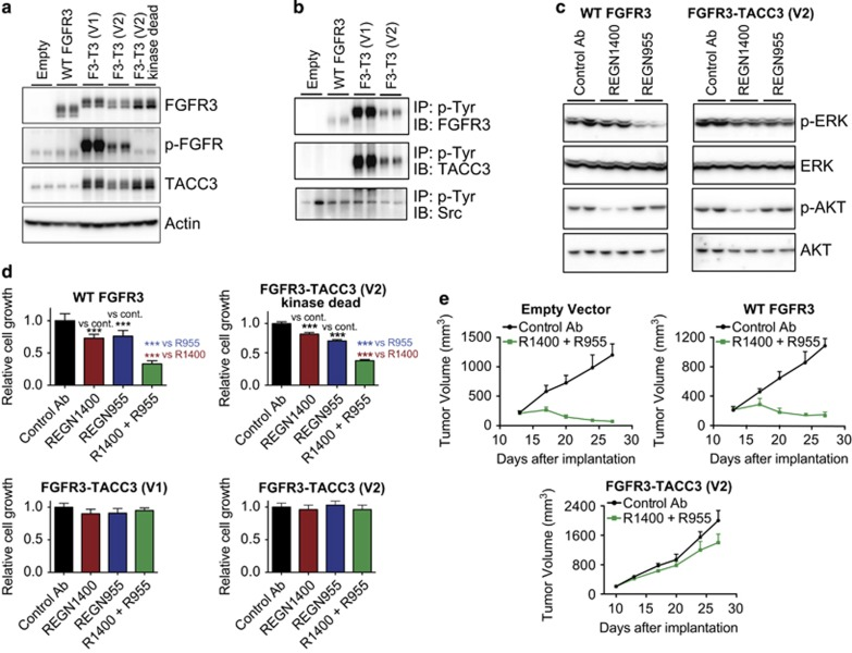 FGFR3-TACC3 fusion proteins promote resistance to EGFR/ERBB3 blockade. ( a ) Parental FaDu cells were infected with an empty vector control lentivirus or with lentiviruses encoding wild-type FGFR3, the FGFR3-TACC3 fusion proteins (F3-T3) identified in the FaDu variants or a kinase-dead version of the V2 FGFR3-TACC3 fusion, and stable cell lines were generated. Cell lysates were prepared and subjected to western blot analysis with antibodies against FGFR3, phospho-FGFR, TACC3 or Actin. ( b ) Lysates were prepared from parental FaDu cells expressing wild-type FGFR3 or FGFR3-TACC3 fusion proteins (F3-T3) and were subjected to immunoprecipitation with anti-p-Tyr antibody 4G10 conjugated to agarose beads. The presence of FGFR3, TACC3 and Src in the immunoprecipitates was assessed by western blot analysis. ( c ) Parental FaDu cells expressing wild-type FGFR3 or FGFR3-TACC3 fusion protein (from V2 cells) were treated for 2 h with control antibody (15 μg/ml), REGN1400 (5 μg/ml) or REGN955 (10 μg/ml). Cell lysates were prepared and subjected to western blot analysis with antibodies against phospho-ERK, ERK, phospho-AKT or AKT. ( d ) Parental FaDu cells expressing wild-type FGFR3, FGFR3-TACC3 fusion proteins or kinase-dead FGFR3-TACC3 fusion were grown for 72 h in the presence of control antibody (15 μg/ml), REGN1400 (5 μg/ml), REGN955 (10 μg/ml) or the combination of REGN1400 plus REGN955. The bar graphs show the relative cell growth in each treatment group, as determined by MTS assay. Error bars show the s.d., n =8. Cell growth was compared by one-way ANOVA with Tukey's multiple comparison test (*** P