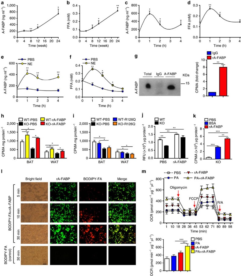 Circulating A-FABP facilitates the uptake of free fatty acid into adipocytes. ( a ) Circulating A-FABP and ( b ) FFA profile of male 4-week-old C57BL/6N mice fed with HFD for 24 weeks ( n=8 ). ( c ) Circulating A-FABP and ( d ) FFA level of male 8-week-old C57BL/6N mice during cold exposure (6 °C) for 4 h ( n= 8). ( e ) Circulating A-FABP and ( f ) FFA level of male 8-week-old C57BL/6N mice intraperitoneally injected with norepinephrine (NE; 1 mg kg −1 ) or PBS (vehicle) for 4 h under fasting condition ( n= 6). ( g ) Co-immunoprecipitation (Co-IP) of A-FABP and 3 H-palmitate in serum of male 8-week-old C57BL/6N mice after administration of 3 H-palmitate (2 μCi) for 4 h. Right panel is the 3 H-palmitate radioactivity of the co-immunoprecipitated A-FABP protein ( n= 6). ( h , i ) 3 H-palmitate uptake in BAT and WAT of 8-week-old A-FABP KO mice and their WT littermates infused with PBS or ( h ) recombinant A-FABP (rA-FABP; 1 μg h −1 ) or ( i ) mutant R126Q (1 μg h −1 ) ( n= 6). ( j ) BODIPY-FA uptake in WT or A-FABP-deficient brown adipocytes treated with PBS or rA-FABP (2 μg ml −1 ) for 10 min (min) ( n= 6). ( k ) 3 H-palmitate uptake in A-FABP-deficient adipocytes incubated with PBS, bovine serum albumin (BSA; 3 μg ml −1 ) or rA-FABP (2 μg ml −1 ) ( n= 6). ( l ) In vitro fluorescent imaging analysis of brown adipocytes treated with BODIPY-FA (2 μM) with or without pre-incubation with fluorescent-labelled rA-FABP (2 μg ml −1 ). Images were taken at 5, 10 and 30 min after treatment. Control image was taken at 30 min in which A-FABP-deficient brown adipocytes were incubated with BODIPY-FA without pre-incubation with rA-FABP. Scale bar, 20 μm, with magnification of 400 × . Representative images from three independent experiments are shown ( n= 6). ( m ) Oxygen consumption rate (OCR) and its mean value (lower panel) of A-FABP-deficient brown adipocytes treated with palmitate (PA: 200 nM) with or without pre-incubation with rA-FABP (2 μg ml −1 ) ( n= 6). CPMA, count per mi