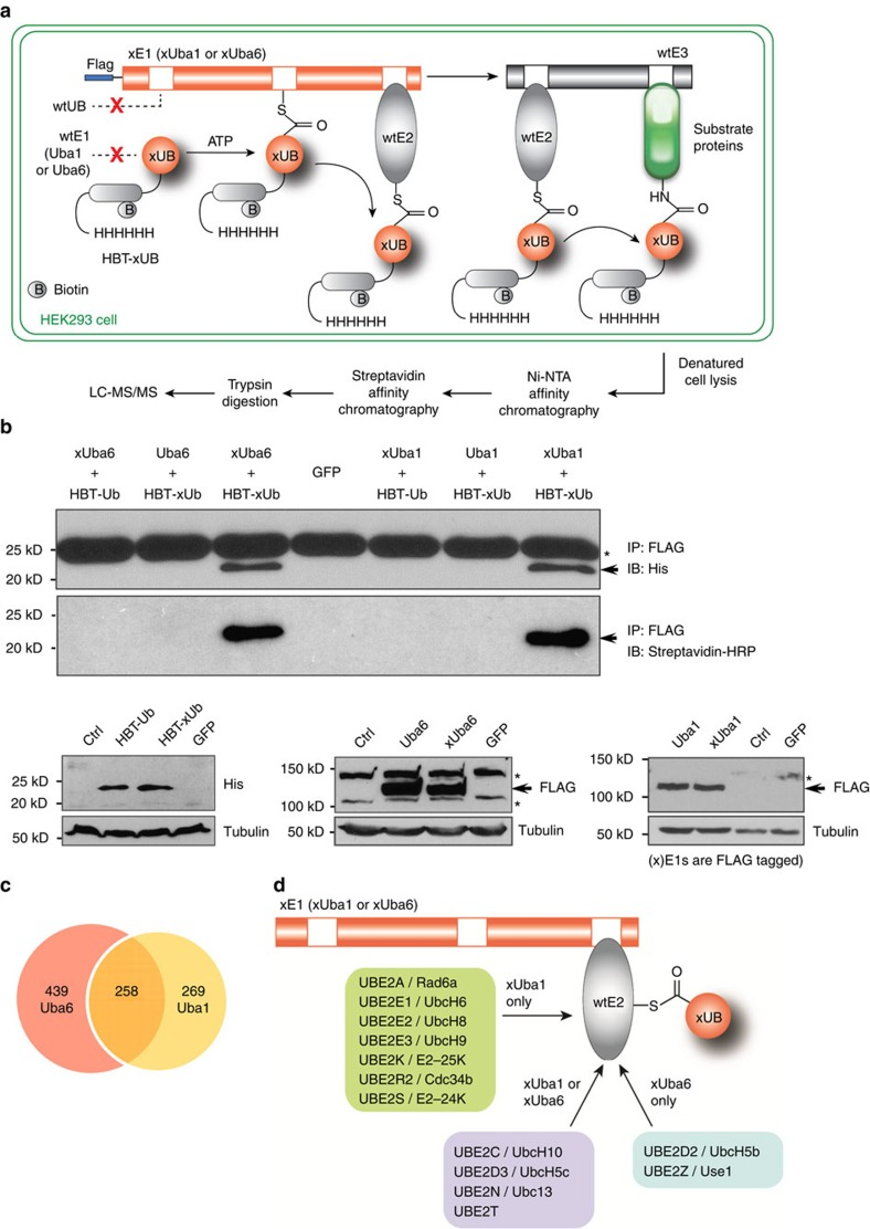 Profiling cellular substrates of Uba6- and Uba1-dependent ubiquitination. ( a ) Flow chart of procedures to identify xUba6- and xUba1-dependent ubiquitination substrates by tandem affinity purification and proteomic procedures. ( b ) Specific reactions of the xUB-xUba1 pair and the xUB-xUba6 pair in HEK293 cells with lentiviral transduction. Upper panels indicate that HBT(histidine/biotinylation-signal tag)-xUB physically conjugates with FLAG-xUba6 and FLAG-xUba1, whereas HBT-wt UB shows no conjugation with FLAG-xUba6 or FLAG-xUba1. HEK293 cells were infected with recombinant lentiviruses for expression of the indicated proteins, followed by drug selection for stable integration. Conjugation of wt UB or xUB with wt E1 or xE1 proteins was examined by immunoprecipitation for E1 proteins under a non-reducing condition, followed by immunoblotting for the poly-histidine tag of UB (the upper panel) or for the biotinylation tag with streptavidin conjugated with horse radish peroxidase (HRP) (the middle panel). The arrow indicates UB proteins, while the asterisk shows a common protein around 25 kDa with cross-reactivity for the anti-penta-histidine antibody. The bottom panels demonstrate total expression levels of each protein determined by direct immunoblotting for the indicated epitope tag or tubulin as a loading control. Ctrl, parental HEK293 cells without viral transduction; GFP, cells infected with a lentivirus for green fluorescent protein. ( c ) Numbers of Uba6-specific, Uba1-specific and Uba6/Uba1-shared ubiquitination substrates identified by the OUT screen. ( d ) E2 enzymes conjugated with HBT-xUB in xUba6- or xUba1-dependent manners. The enzymes shown in the centre were identified by both xUba6- and xUba1-mediated screens.