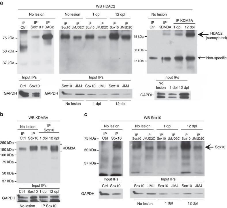 Assembly of multifunctional protein complex. ( a – c ) Non-denaturing IP of Sox10, HDAC2, JMJD2C, KDM3A or ctrl (GFP or Flag) in unlesioned (no lesion) adult mouse sciatic nerve lysates or at 1 dpl or 12 dpl, and western blot of HDAC2 ( a ), KDM3A ( b ) or Sox10 ( c ). Membranes where Sox10 and JMJD2C IPs were run together were first blotted with the HDAC2 antibody ( a ) and were re-blotted with the Sox10 antibody ( c ). GAPDH western blots on lysates used for IP show the inputs (in a , only one input for no lesion IP KDM3A and ctrl that were done on the same lysate divided by two). Sample size: each IP was done three times, using nerves of three different animals. One nerve was used per IP.