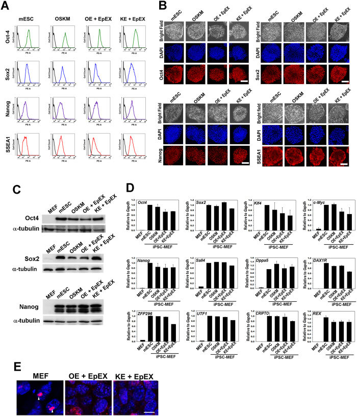 Characterization of iPSCs in vitro . ( A ) Flow cytometry was performed to detect Oct4, Sox2, Nanog, and SSEA1 (n = 3). ( B ) Immunofluorescent staining was performed for the detection of Oct4, Sox2, Nanog, and SSEA1 by confocal microscopy (n = 3). Scale bar: 50 μm. ( C ) Western blotting for the detection of Oct4, Sox2, and Nanog (n = 3). ( D ) Q-PCR analysis (n = 3). Q-PCR analysis was used to show that the iPSCs express endogenous pluripotency genes, including Oct4, Sox2, Klf4, c-Myc, Nanog , Spalt-Like Transcription Factor 4 ( Sall4 ), dosage-sensitive sex reversal, adrenal hypoplasia critical region, on chromosome X, gene 1 ( DAXR1 ), developmental pluripotency-associated 5 ( Dppa5 ), zinc finger protein ( ZFP ), undifferentiated embryonic cell transcription factor ( UTF ), cysteine-rich PDZ-binding protein ( CRIPTO ), reduced expression ( REX ). The parental MEF group was used as a control. ( E ) me3H3K27 immunostaining of MEFs and iPSCs. Red color indicates the staining of me3H3k27. Blue color indicates the DAPI staining. Scale bar: 10 μm.