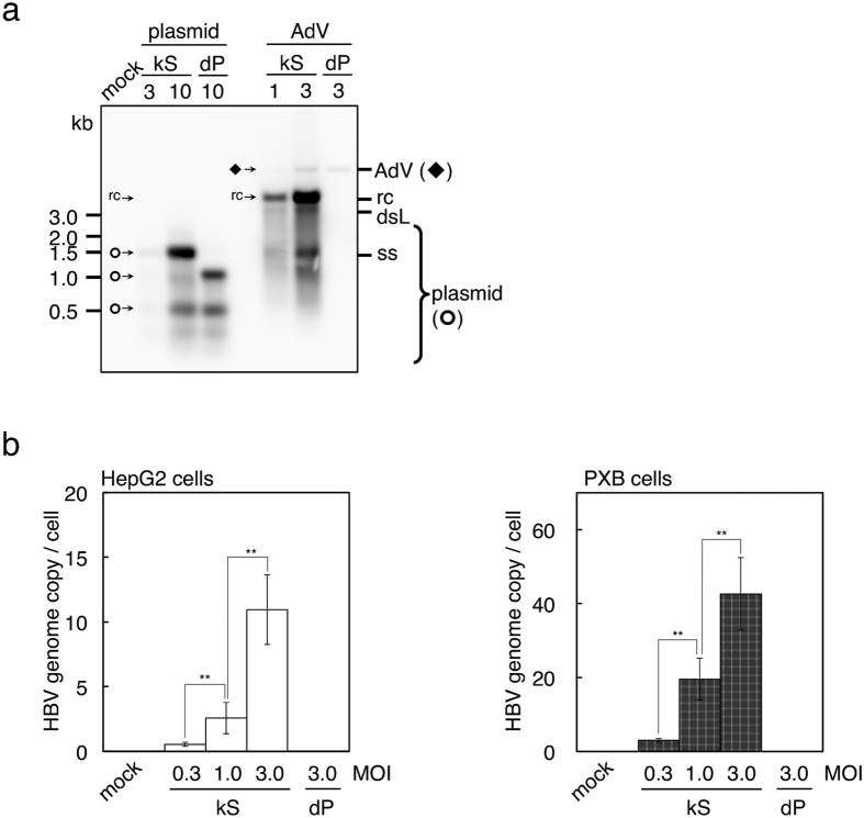 Detection and quantification of replicating HBV genome. Cells were infected with Ax-CM103G-kS (kS) or Ax-CM103G-dP (dP) by the indicated MOIs, or transfected with plasmids possessing the same mutant HBV expression units. ( a ) Detection of the replicating HBV genome. Total DNA either from infected or transfected HepG2 cells were analysed using Southern blot analysis. AdV (◆), Kpn I-digested genome of adenovirus vector; rc, relaxed circular DNA genome of HBV; dsL, double-stranded linear DNA genome of HBV; ss, single stranded DNA of HBV; plasmid ( ¢ ), Hind III and Dpn I-digested plasmid fragments; mock, mock infection. Overexposure of blots and full-length blots are presented in Supplementary Figs S5 and S9 , respectively. ( b ) Replicating HBV genomes were quantified using qPCR. Total DNA from infected HepG2 or PXB cells were used to performed qPCR. n = 3. Error bars represent ± s.d.; mock, mock infection of the indicated cells; ** P
