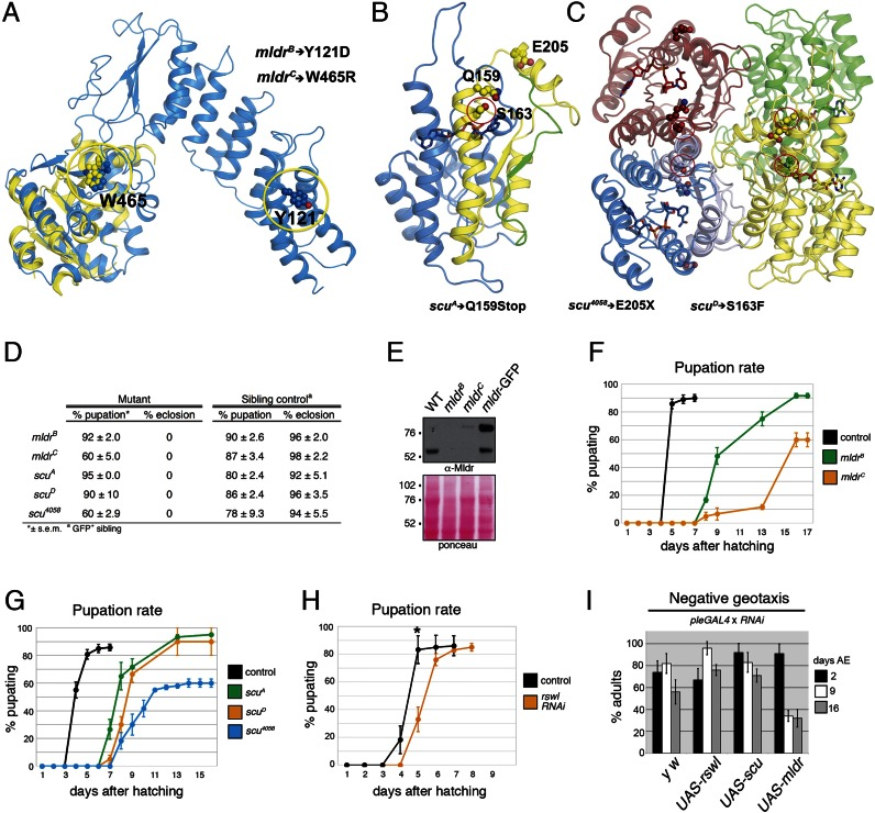 Loss of mldr and scu results in lethality in Drosophila. (A–C) Predicted structure of Mulder based on the Arabidopsis thaliana PRORP1, PRORP2 and the human PRORP available structures ( A ) and Scully ( B and C ) based on the available human MRPP2 structures. The modeled MRPP2 monomer is shown in blue in B whereas the expected tetrameric assembly is shown in C. The point mutations used in this study are indicated with yellow (A) and red (B, C) circles. The scu alleles Q159Stop and E205X result in truncations. The E205X and Q159Stop mutations result in a 19-residue truncation in yellow and an additional 87-residue truncation in green, respectively shown in B. The position of W465, Y121 in Mulder and S163, Q159 and E205 are all shown as ball and sticks. ( D ) Table summarizing percent pupation and eclosion for mldr and scu alleles. ( E ) Western blot indicating larvae mutant for mldr B and mldr C have greatly reduced protein levels. ( F–H ) Pupation rates. Both mldr B and mldr C mutant larvae have delayed pupation with 40% of mldr C mutant larvae failing to pupate (F). Larvae mutant for scu have delayed pupation as well. The scu 4058 allele also fails to pupate 40% of the time (G). (H) Expressing UAS-rswl-RNAi using ActGAL4 shows a modest but reproducible pupation delay. Note the different scale in the X-axis. The controls (black lines) for F–H are a representative sibling control for one of the genotypes. The lines stop because the adults eclose. ( I ) Negative geotaxis assay. Expressing scu or rswl RNAi in dopaminergic neurons using Ple-GAL4 has no effect on adult fly locomotion, whereas expressing mldr-RNAi causes an age-dependent decrease in locomotion. AE = After Eclosion. Error bars = s.e.m. for F, G and s.d. for H. * P = 0.02, determined using a two-tailed Student's t -test in Microsoft Excel.