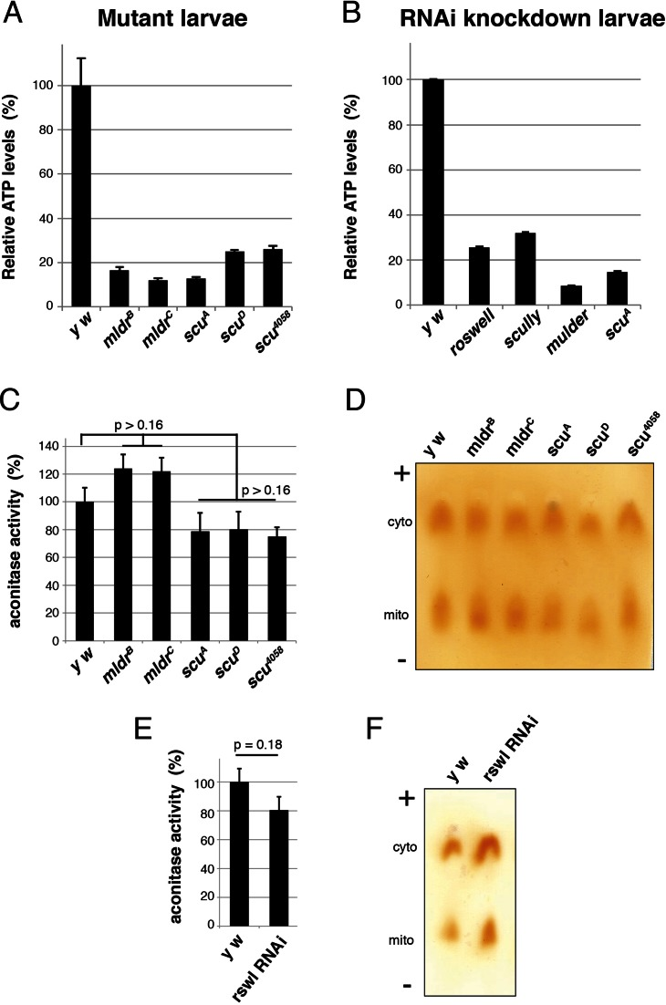 Loss of mt:RNase P complex proteins causes decreases in ATP in vivo . ( A ) Larvae mutant for mldr and scu have greatly reduced levels of ATP compared to wild-type ( y w ). ( B ) Larvae ubiquitously expressing RNAi for rswl, scu and mldr using tubGAL4 also have reduced levels of ATP. scu A mutant larvae are included as a control. ( C, E ) mldr and scu mutant larvae (C) and larvae ubiquitously expressing rswl-RNAi (E) do not have decreased mitochondrial aconitase activity relative to cytoplasmic aconitase activity. ( D, F ) Representative cellulose acetate membranes for C and E, respectively, showing cytoplasmic (cyto) and mitochondrial (mito) aconitase activity. '+' and '−' indicate the electrophoretic migration. Error bars represent s.e.m.. P - values were calculated using a two-tailed Student's t -test in Microsoft Excel. Information on replicates can be found in the Materials and Methods.