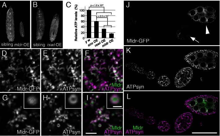 Overexpressing Mulder causes mitochondrial morphology defects. ( A ) UAS-mldr-GFP expressing larvae driven by tubGAL4 do not develop past second instar. The sibling control larva is a third instar. ( B ) UAS-rswl-myc larvae, in contrast, are able to grow to the third instar stage driven by tubGAL4 . ( C ) Graph showing relative ATP levels for UAS-scu, UAS-rswl and UAS-mldr larvae overexpressed using tubGAL4 . OE = overexpression. ( D–I ) Germ cells expressing UAS-mldr-GFP under the control of nosGAL4 . (D–F) Germ cells with lower Mldr expression (D) have mitochondria that are of the normal shape and size (E, F is the merge). Germ cells with high expression of UAS-Mldr-GFP (G) have swollen mitochondria (H, I is the merge). The swollen, ring-shaped mitochondria (H, inset) have Mldr-GFP concentrated in the middle (G, inset, I inset is the merge). ( J–L ) A representative ovariole expressing UAS-mldr-GFP under control of nosGAL4 . Weaker expression is seen in younger germ cells (J, arrow) compared to strong Mldr-GFP expression in older ones (J, arrowhead). ATP synthase labeling shows all of the mitochondria throughout the ovariole (K). L is the merge of J and K. White = anti-GFP (D, G, J), anti-ATP synthase (E, H, K). Green = anti-GFP (F, I, L). Magenta = anti-ATP synthase (F, I, L). Scale bars = 5 μm in I for D-I, 1.5 μm in I inset for all insets, 50 μm in L for J–L. Error bars = s.e.m.. P -values were calculated in Microsoft Excel using a two-tailed Student's t -test.