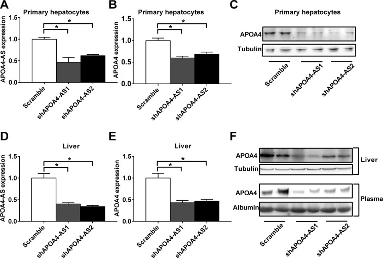 Knockdown of APOA4 -AS transcript decreases APOA4 mRNA and protein levels both in vitro and in vivo . ( A–C ) Primary hepatocytes were isolated from C57BL/6 mice. Cells were infected with ad-scramble or two different ad-shRNAs (sh APOA4 -AS1 or sh APOA4 -AS2) adenovirus targeting to APOA4 -AS transcript. APOA4 -AS (A) and APOA4 (B) transcripts were measured by qRT-PCR. APOA4 protein level was measured by western blot (C). ( D–F ) C57BL/6 mice (8 weeks old) were tail-vein injected with ad-scramble or two different ad-shRNAs (sh APOA4 -AS1 or sh APOA4 -AS2) adenovirus targeting APOA4 -AS transcript. APOA4 -AS (D) and APOA4 transcripts (E) in the liver were measured by qRT-PCR. APOA4 protein levels in the liver and plasma were measured by western blot (F). n = 3–6. * P