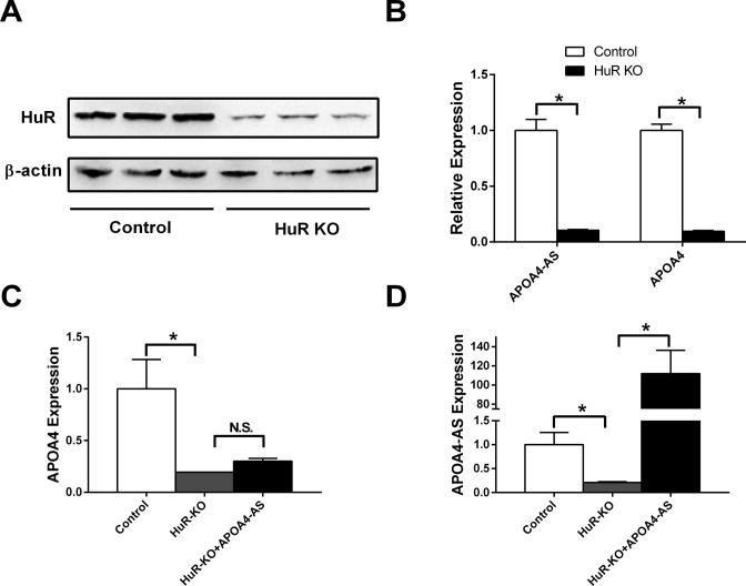 Deletion of HuR decreases both APOA4 -AS and APOA4 mRNA in primary hepatocytes. Primary hepatocytes were isolated from C57BL/6 mice. Cells were infected with ad-Cas9 and two different ad-sgRNAs adenovirus targeting to HuR . ( A ) HuR and β-actin protein levels were measured by western blot. ( B ) APOA4- AS and APOA4 transcripts were measured by qRT-PCR. ( C ) and ( D ) Hepatocytes with HuR deletion were infected with APOA4 -AS adenovirus. APOA4 (C) and APOA4- AS (D) transcripts were measured by qRT-PCR. n = 4–6. * P