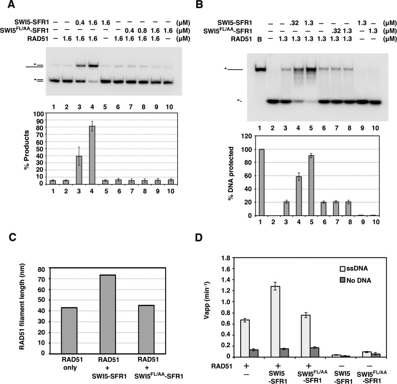 SWI5 F83A/L85A-SFR1 is functionally impaired. ( A ) The effect of SWI5–SFR1 or SWI5 FL/AA –SFR1 on RAD51-mediated DNA strand exchange was examined. The results were graphed. ( B ) Exonuclease I protection assay was conducted with the indicated concentrations of SWI5–SFR1 and SWI5 FL/AA –SFR1. The results were graphed. ( C ) The average length of RAD51 filaments with negative staining was determined by electron microscopy (see Supplementary Figure S5). RAD51 was examined alone or with SWI5–SFR1 or SWI5 FL/AA –SFR1. The total 225 filaments were counted in each reaction. We note that the average length of the presynaptic filament in the presence of SWI5–SFR1 is much longer than expected. This could be due to the end-to-end association between two DNA molecules by RAD51 as described by Baumann et al. ( 35 ). ( D ) Thin-layer chromatography to monitor the hydrolysis of [γ- 32 P] ATP by RAD51 in the absence or presence of indicated concentrations of SWI5–SFR1 or SWI5 FL/AA –SFR1. The results were graphed. (A, B and D) Error bars represent the standard deviation (±SD) calculated based on at least three independent experiments.