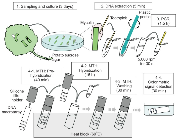 Schematic flow of the diagnostic method developed in this study for latent infection of strawberry anthracnose fungi. The diagnostic steps consist of 4 steps, initial culturing of candidate fungi (Step 1), DNA extraction from fungal hyphae (Step 2), synthesis of PCR-amplified probes (Step 3), and microtube hybridization (MTH) and colorimetric detection (Step 4). The experimental details are described in the text.
