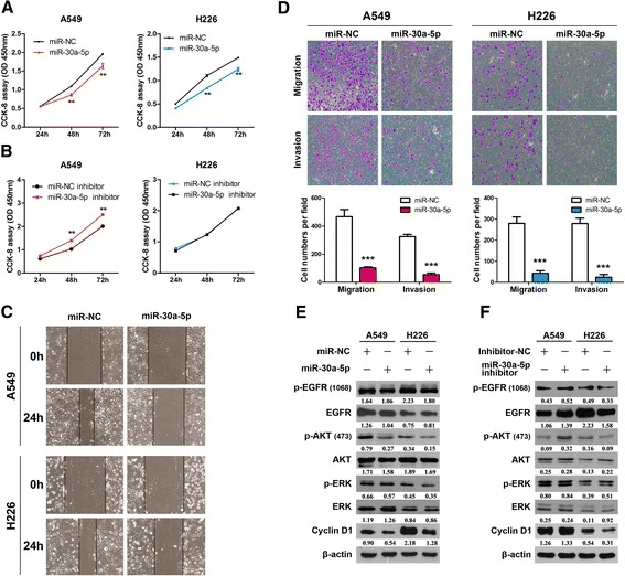 Overexpression of miR-30a-5p inhibits NSCLC cell proliferation and motility. a b CCK-8 assay of cell viability in NSCLC cell lines transfected with miR-30a-5p mimics or miR-30a-5p inhibitor at 24, 48 and 72 h. c A wound healing assay was performed to observe the role of miR-30a-5p transfection in cells. The data showed that the speed with which the cells migrated towards the scratch was lower in cells transfected with the miR-30a-5p overexpression vector than in the control cells. d Overexpression of miR-30a-5p inhibits invasion and migration of NSCLC cells. The A549 and H226 cell lines were transfected with miR-30a-5p mimics and allowed to migrate through 8-μM pore Transwells. The cells that migrated were stained and counted in at least three microscopic fields (magnification, ×100). Then, cells were treated as described before and allowed to invade through the Matrigel-coated membrane in Transwells. The invasive cells were stained and counted under a light microscope. e and f The A549 and H226 cells were treated with or without miR-30a-5p mimics or the miR-30a-5p inhibitor for 72 h, respectively. The expression levels of p-EGFR, EGFR, p-AKT, AKT, p-ERK, ERK and Cyclin D1 were analyzed by western blotting. ** P