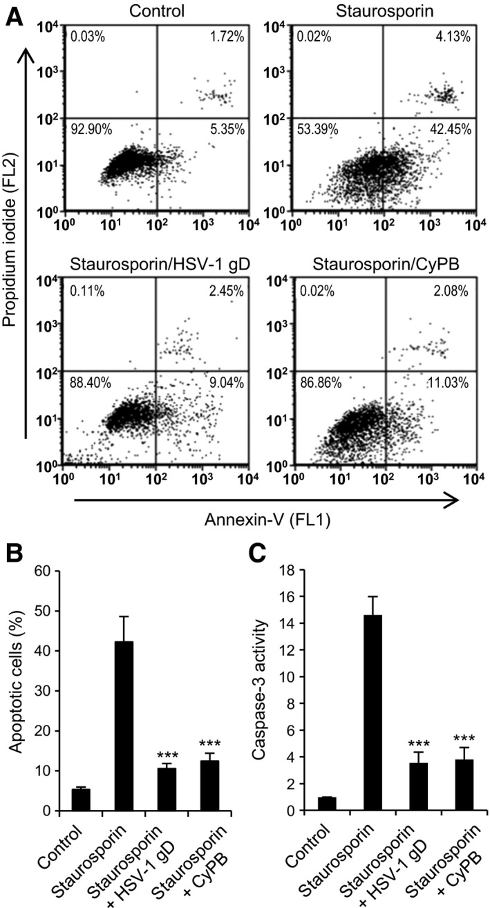 "Protective effects of HSV‐1 gD and CyPB against apoptosis in primary macrophages. (A, B) Flow cytometry analysis of staurosporin‐induced apoptosis. Macrophages were either untreated or treated with HSV‐1 gD or CyPB (both at 1 μg·mL −1 ) for 8 h and subsequently exposed to staurosporin (0.5 μ m ) for 4 h. At the end of incubation, cells were stained with fluorescein‐conjugated annexin‐V (FL1) and PI (FL2) for flow cytometry analysis. (A) Representative dot‐blots showing the distribution of viable (annexin‐V − /PI − ), early apoptotic (annexin‐V + /PI − ), late apoptotic (annexin‐V + /PI + ) and necrotic (annexin‐V − /PI + ) cell populations. (B) Percentages of early apoptotic cells (annexin‐V + /PI − ). Values are means ± SD from five experiments conducted with macrophages from distinct donors. (C) Analysis of caspase‐3 activation. Following incubation in the absence or presence of HSV‐1 gD or CyPB, macrophages were exposed to staurosporin for 4 h, after which they were lysed. Caspase‐3 activity was then measured in cell lysates using the fluorescent Ac‐DEVD‐AMC substrate, as described in "" Materials and methods "". Data are expressed as fold increase in caspase‐3 activity by comparison with cells cultured in the absence of staurosporin. Results are means ± SD of five independent experiments performed with cells isolated from distinct donors (*** P"