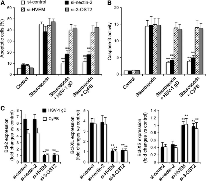 Effects of silencing the expression of 3‐OST2, HVEM and nectin‐2 on the anti‐apoptotic properties of HSV‐1 gD and CyPB. The contribution of 3‐OST2 (as a 3‐ O ‐sulfated HS‐generating enzyme) and of HVEM and nectin‐2 to the protective effect of HSV‐1 gD and CyPB was analysed by measuring staurosporin‐induced apoptosis in siRNA‐treated macrophages. Following treatment with siRNA for 48 h, cells were incubated or not with HSV‐1 gD and CyPB (1 μg·mL −1 ) for 8 h, after which they were exposed to staurosporin (0.5 μ m ) for 4 h. (A) The percentage of apoptotic cell population was evaluated by analysing the binding of fluorescein‐conjugated annexin‐V. Each bar of histogram represents mean ± SD of the rate of apoptotic cells (annexin‐V + /PI − ) obtained from five distinct experiments. (B) In parallel experiments, the activation of caspase‐3 was analysed in siRNA‐treated cells after exposure to staurosporin. Results are expressed as fold increase in caspase‐3 activity by comparison with untreated cells and correspond to means ± SD from five independent experiments (** P