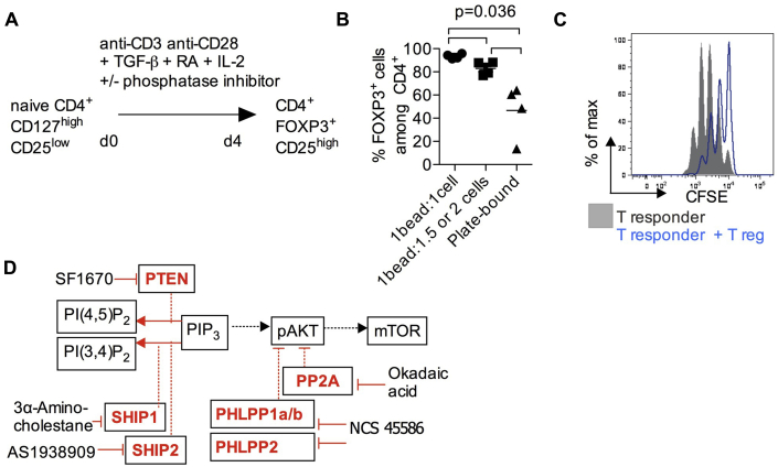 iTreg assay and blockade of iTreg generation by phosphatase-specific inhibitors. A, In vitro differentiation of naive T cells into FOXP3 iTreg cells. B, Effects of TCR signal strength on FOXP3 induction. TCR stimulation was provided by T-cell activator beads or plate-bound anti-CD3 (10 μg/mL)/soluble anti-CD28 (1 μg/mL). C, In vitro T-cell proliferation suppression assay. Carboxyfluorescein succinimidyl ester (CFSE) –labeled naive (responder) T cells were cocultured with anti-CD3/anti-CD28 beads in the presence and absence of iTreg cells. Responder T-cell proliferation was measured by means of CFSE dilution. Data are representative of 2 independent experiments. D, Small-molecule inhibitors were used to block various phosphatases (PTEN, PHLPP1/2, SHIP1, SHIP2, and PP2A) that provide negative regulation at different points of the PI3K/AKT/mTOR signaling pathway.