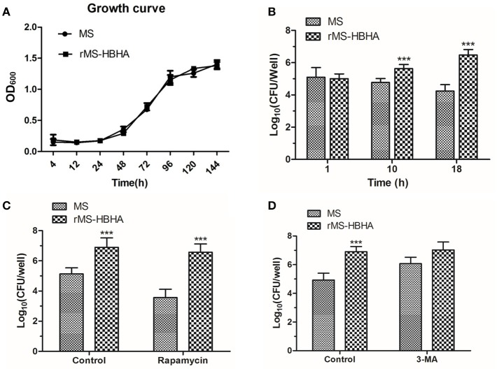 Inhibition of autophagy could promote survival of rMS-HBHA within A549 cells. (A) Growth curves of MS and rMS-HBHA were measured by OD 600 absorbance. (B) A549 cells were infected with MS or rMS-HBHA at the MOI of 10:1. The cells were lysed at 1, 10, or 18 h post-infection, and lysates were diluted and plated on agar plates to determine the number of viable intracellular bacteria. ( *** P