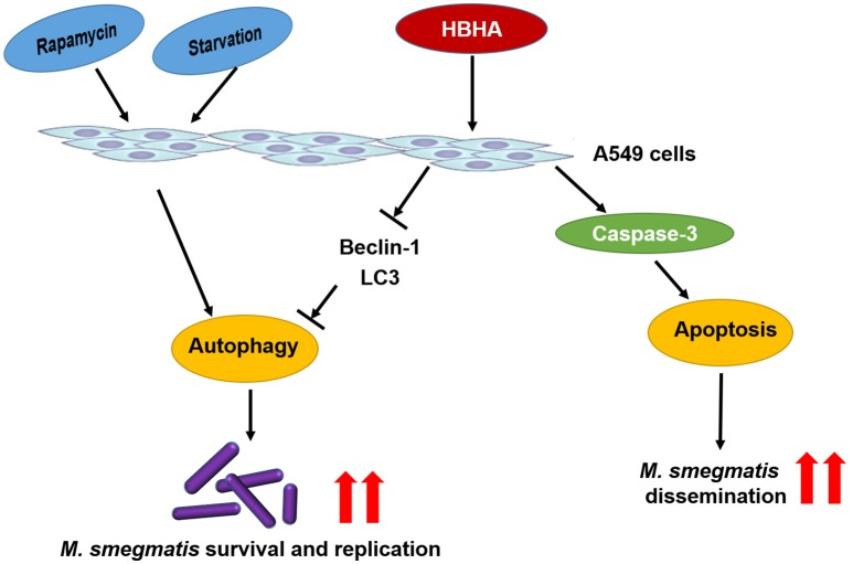 Schematic model of the role of HBHA during mycobacterial infection . HBHA inhibited autophagy in mycobacterial infected A549 cells, thereby promoted intracellular bacterial survival and replication. Subsequently, HBHA induced apoptosis on A549 cells through activation of caspase-3 which may facilitate bacterial escape from lung epithelial cells and dissemination to the adjacent cells.