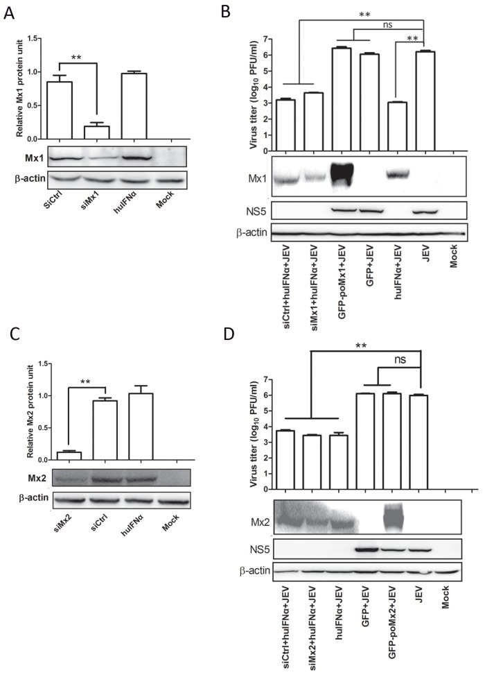IFNα inhibits JEV replication in Mx-knockdown BHK-21 cells. Cells were transfected with siRNA targeting Mx1, Mx2, and a siRNA control (siCtrl). Six hours after transfection cells were treated with huIFNα for 12 h, then infected with JEV at an MOI of 0.05. At 24 hpi, cell supernatants were used to determine the levels of infectious virus by plaque assay, and the cell culture lysates were used to determine the viral protein levels by Western blot analysis. Percent knockdown of ( A ) Mx1 and ( C ) Mx2. JEV replication determined by plaque assay and Western blot analysis in ( B ) siMx1- or ( D ) siMx2-transfected and control cells. Quantification of the blotted proteins was performed using Image J software. All data are presented as means ± standard deviation (S.D.) as indicated. Statistical significance is indicated as ns ( p > 0.05) and ** ( p