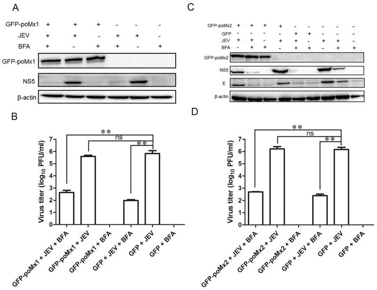 Mx1 or Mx2 overexpression has no impact on JEV replication in cells treated with Brefeldin A (BFA). GFP-poMx1 (or poMx2)-overexpressing BHK-21 cells and control cells were infected with JEV at an MOI of 0.05. At 12 hpi, BFA (5 μg/mL) was added to the culture medium for an additional 12 h. The lysates of cell culture were used to determine the viral protein levels by Western blot analysis, and cell supernatants were used to determine the levels of infectious virus by plaque assay. Western blot analysis ( A ) and virus titer ( B ) of infectious virus of GFP-poMx1-overexpressing infected cells treated with or without BFA. Alternatively, Western blot analysis ( C ) and virus titer ( D ) of infectious virus of the GFP-poMx2-overexpressing infected cells treated with or without BFA. All data are presented as means ± standard deviation (S.D.) as indicated. Statistical significance is indicated as ns ( p > 0.05) and ** ( p