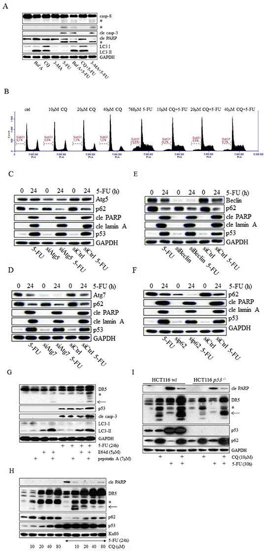 Chloroquine and bafilomycin A abrogate 5-FU generated apoptosis in HCT116 cells through an effect separated from autophagy inhibition The effect of 5-FU with respect to the processing of caspases −8, −3 and PARP was analyzed by immunoblotting using total protein lysates from cells in which autophagy had been compromised by means of chloroquine (CQ, 20 μM), bafilomycin A (Baf A, 100 nM) or 3-methyladenine (3-MA, 5 mM) treatments. Detection of LC3 was performed to verify drug activities A. Cytotoxicity of 5-FU (768 μM, 20h), either used as a single agent or in combination with 10, 20 or 40 μM chloroquine (CQ), was examined by propidium iodide cell labeling followed by FACS analysis of SubG1 populations B. Along with siControl cells, siAtg5 C. siAtg7 D. siBeclin E. and siSQSTM1 (p62) F. transfected (20 nM) HCT116 wt cells were either left untreated or treated with 768 μM 5-FU for 24 h. Western blot examination of cell lysates with respect to cleaved lamin A (cle lamin A), cleaved PARP (cle PARP), p53 and siRNA efficiency are shown in (C–F). The apoptotic effects of 5-FU (768 μM), either alone or in co-treatments using cathepsin inhibitors E64d (5 μM) or pepstatin A (7 μM), or their combination, were analyzed by SDS-PAGE. Immuno-detection of DR5, p53, cleaved caspase-3 (cle casp-3) and LC3 in SDS-PAGE is outlined. G. Expression of DR5 and p53 in HCT116 wt cells as a result of CQ (10, 20, 40 or 80 μM) or 5-FU (768 μM) treatment, or their combinations was investigated by SDS-PAGE using HCT116 wt protein isolates. Immuno-detection of p62 and cleaved PARP served as markers for autophagy and apoptosis, respectively H. Along with controls, HCT116 wt and p5 3 −/− cells were treated with 5-FU (768 μM) or CQ (10 μM), or their combination. Isolated protein lysates were then separated by SDS-PAGE in order to analyze DR5, cleaved PARP, p53 and p62 using specific antibodies I. Immuno-detection of GAPDH or KU80 was used to control for equal loading of samples in (A and C–I). Processed caspase-8 fragments and the short isoform of DR5 are indicated by asterisks (A and G–I). An additional DR5-related fragment detected in western blot and appearing in CQ treated as well as in E64d and pepstatin A co-treated samples is indicated by an arrow (G–I).
