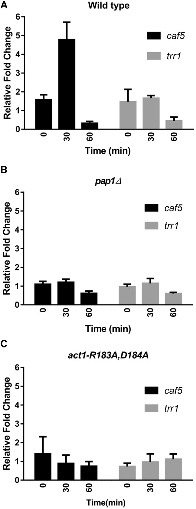 The caf5 gene is induced in a pap1 -dependent manner in response to LatA. <t>qRT-PCR</t> analysis of caf5 and trr1 expression (relative to gpd1 ) in response to 0.3 μM LatA treatment in (A) wild-type, (B) pap1 Δ, and (C) act1-R183A , D184A backgrounds. The level of caf5 and trr1 transcripts were normalized to that of the internal control gpd1 . The normalized level of the transcripts in LatA-treated cells is shown relative to that of DMSO controls. The mean ± SE for three biological replicates is shown. DMSO, dimethyl sulfoxide; LatA, latrunculin A; qRT-PCR, quantitative real time-polymerase chain reaction.