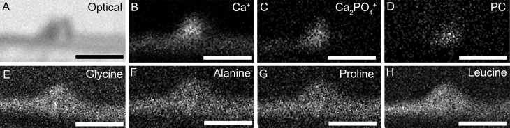 Distribution of the molecular ions identified by SIMS. An optical image of the focal deposit analyzed by SIMS analysis ( A ). Molecular ion mapping of calcium (Ca + ) ( B ) and calcium phosphate (Ca 2 PO 4 + ) ( C ) confirmed the presence of HAP within sub-RPE deposits. Lipid content of deposits was confirmed by molecular ion mapping of the phosphatidylcholine (PC) head group fragment ion ( D ). Mapping of amino acid signatures including glycine ( E ), alanine ( F ), proline ( G ), and leucine ( H ) confirmed the presence of protein within deposits. Thus, HAP, amino acids, and PC are all present within deposits. It should be noted that the culture insert is absent in the figure, during processing the cells and the sub-RPE deposits detached from the Transwell insert surface. Scale bars denote 40 μm.
