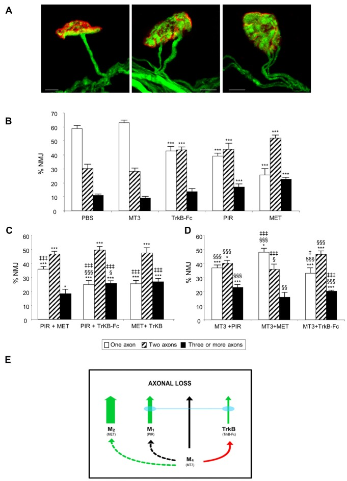 The picture in (A) shows representative confocal immunofluorescence images of singly-, dually- and polyinnervated neuromuscular junction area (NMJ) from P9 YFP mice. Scale bar: 10 μm. The histograms in (B) show the percentage of singly-, doubly- and triply- (or more) innervated NMJs in control (phosphate buffered saline, PBS treated) and levator auris longus (LAL) muscles treated with the inhibitors considered. We show newly reproduced data of previous results to facilitate comparison (Nadal et al., 2016 ). (C) shows the percentage of NMJs after the simultaneous inhibition of two receptors clearly involved in axonal elimination (those that affect axon loss rate when they are individually blocked (all except M 4 ). The associations of the M 4 blocker muscarinic toxin 3 (MT3) with the other inhibitors are represented in (D) . An overall representation of the data illustrating the individual role and cooperation of the muscarinic acetylcholine receptor (mAChR) and tyrosine kinase B (TrkB) receptors in developmental axonal loss modulation is shown in the diagram in (E) . The green arrows show how effective these receptors are at accelerating axonal elimination (the thicker they are, the greater their effect). The association of the M 1 and TrkB blockers results in the addition of their respective effects (blue bond between these receptors). The M 4 receptor, which does not by itself affect axonal elimination (black arrow), cooperates positively with M 2 (dotted green arrow) and produces some occlusion of the TrkB pathway (red arrow) but does not cooperate with M 1 (dotted black arrow). All NMJs visible in their entirety were scored, with a minimum of 100 synapses per muscle. At least six muscles were studied for each age and condition examined. Fisher's test was applied to compare percentages. When the corresponding antagonist or combinations of two substances were compared with control PBS, significance symbols are: * P