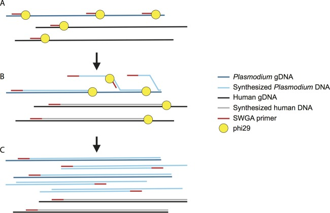 Selective whole-genome amplification (SWGA) of Plasmodium vivax genomic DNA (gDNA) from human blood samples. (A) SWGA primers bind frequently to Plasmodium vivax gDNA and infrequently to human gDNA. (B) When phi29 encounters double-stranded gDNA, it displaces the newly synthesized strand, opening new primer binding sites on the synthesized gDNA, leading to selective amplification of templates with frequent primer binding sites. (C) Post-SWGA, the percentage of P. vivax DNA has increased relative to the percentage of host DNA.