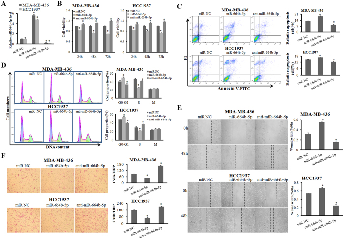miR-664b-5p overexpression suppresses cell growth, migration and invasion. ( A ) The efficiency of miR-664b-5p overexpression and inhibition in BRCA1-mutated TNBC cell lines was measured with qRT-PCR. ( B ) The influence of miR-664b-5p on the cell growth of BRCA1-mutated TNBC cells was measured with an MTT assay. ( C ) The representative images of cell apoptosis analysed by flow cytometry using Annexin V and PI staining. The apoptotic rate in MDA-MB-436 and HCC1937 cells transfected with miR-NC, miR-664b-5p, or anti-miR-664b-5p. ( D ) Representative images of the cell cycle analysis by flow cytometry using Annexin V and PI staining. The cell-cycle phase distribution of MDA-MB-436 and HCC1937 cells transfected with miR-NC, miR-664b-5p, or anti-miR-664b-5p. ( E ) Wound-healing assays in MDA-MB-436 and HCC1937 cells were performed after transduction with miR-NC, miR-664b-5p, or anti-miR-664b-5p. ( F ) Representative results of the Transwell assays showing the effect of miR-664b-5p expression on the invasion ability in MDA-MB-436 and HCC1937 cells. *p
