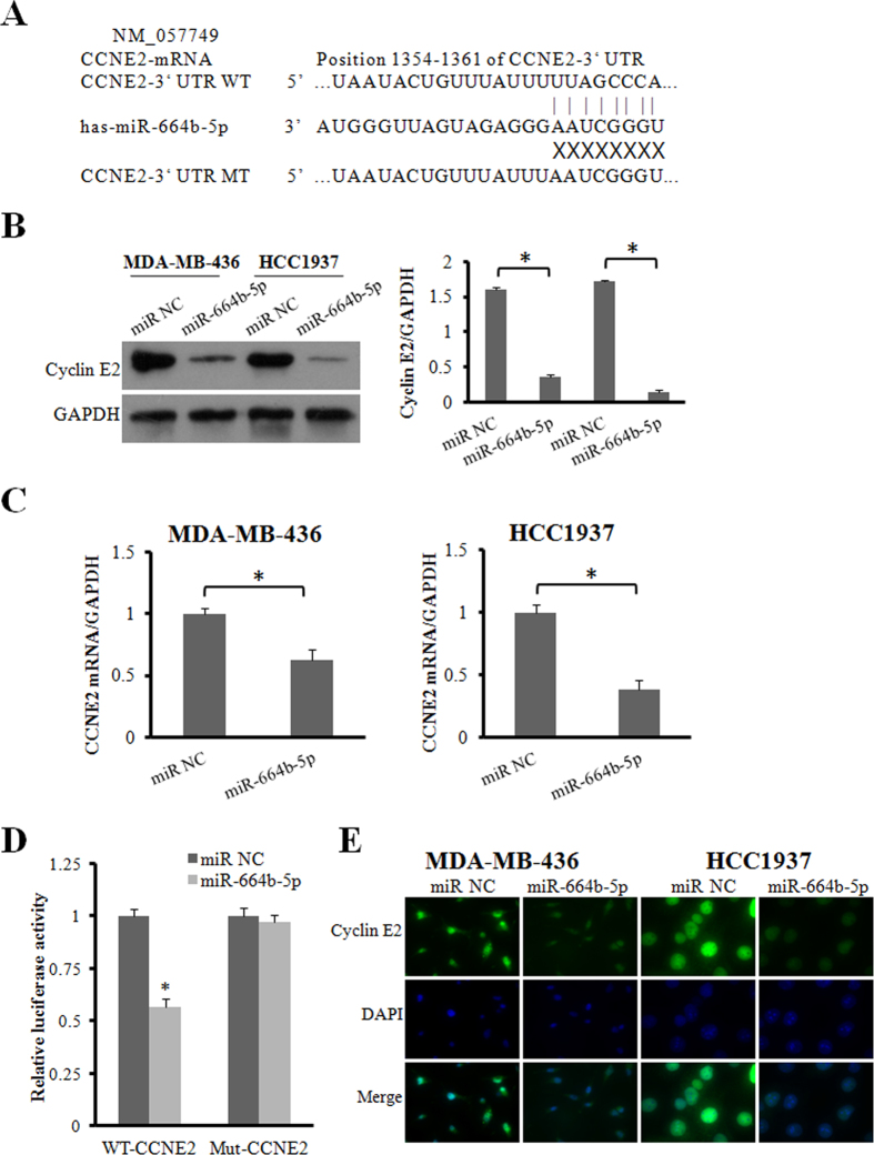 CCNE2 is a direct downstream target of miR-664b-5p. ( A ) The nucleotide sequences of miR-664b-5p and the complementary sequence in CCNE2 mRNA revealed a potential binding site. ( B ) Western blot analysis of cyclin E2 protein in miR-664b-5p overexpressing cells. GAPDH expression was used as the loading control. ( C ) qRT-PCR detection of CCNE2 mRNA expression in MDA-MB-436 and HCC1937 cells transfected with miR-664b-5p or miR-NC. ( D ) Relative luciferase activity was analysed after wild-type or mutant 3′-UTR reporter plasmids were cotransfected with miR-664b-5p or miR-NC in HCC1937 cells. ( E ) Fluorescence microscopy analysis of the expression of cyclin E2 by immunofluorescence. The green signal represents the staining of the cyclin E2 protein, and the blue signal represents the nuclear DNA staining by DAPI. *p