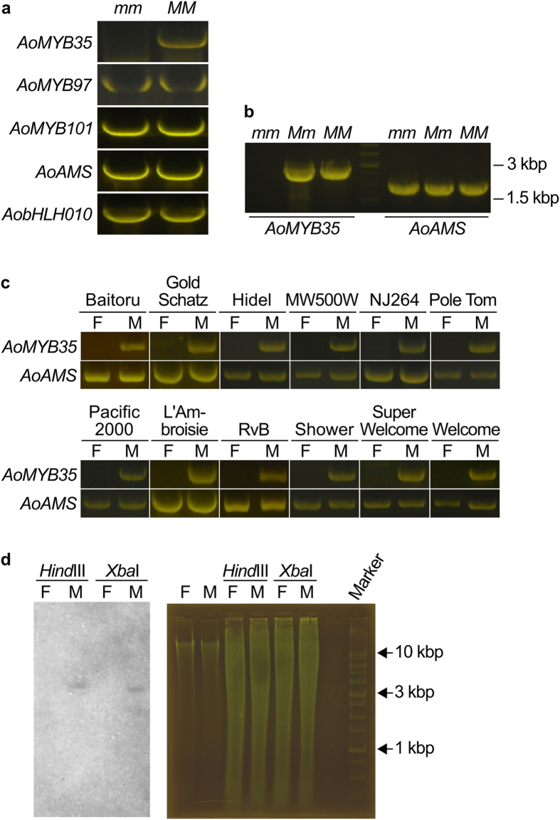 AoMYB35 is absent in female Asparagus officinalis plants. ( a ) Genomic PCR analysis of the genes encoding MYB and bHLH transcription factors that could regulate anther development. Genomic DNA was extracted from female ( mm ) and supermale ( MM ) plants of the A. officinalis cultivar Gijnlim, and used as the PCR template. ( b ) Genomic DNA of male ( Mm ) plants of Gijnlim was also subjected to the PCR analysis of AoMYB35 and AoAMS as in panel a. The middle (fourth) lane shows the pattern of a DNA size marker. ( c ) Genomic DNA was prepared from female (F) and male (M) plants of the indicated cultivars (MW500W: Mary Washington 500 W; NJ264: New Jersey 264; RvB: Ruhm von Braunschweig), and subjected to the PCR analysis of AoMYB35 and AoAMS as in panel a. Experiments were repeated more than three times for each gene in the panels a–c, and representative cropped gel images are shown. ( d ) Southern blot analysis of AoMYB35 . Twenty μg genomic DNA of female (F) and male (M) plants of NJ264 was digested by either Xba I or Hind III, and subjected to Southern blotting. Signals were detected using a digoxigenin (DIG)-labeled AoMYB35 -specific probe (left panel). In the right panel, gel images are shown as loading controls (Ctrl: 1.5 μg undigested DNA was run in each lane; Hind III and Xba I: 20 μg digested DNA was run in each lane). Experiments were repeated three times, and a representative result is shown.