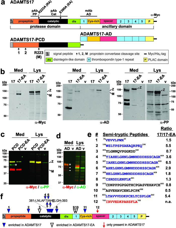 """ADAMTS17 undergoes autocatalytic processing. ( a ) Domain organization of ADAMTS17 and the constructs ADAMTS17-PCD and ADAMTS17-AD. The location of the ADAMTS17 antibody epitopes (black line) and the sites of site-directed mutagenesis (furin-site: R 223 A, active site: E 390 A) are indicated above the ADAMTS17 domains. The predicted furin/PACE cleavage sites are shown below the ADAMTS17-PCD construct. Cleavage at site R223 results in mature (""""M"""") ADAMTS17. ( b ) Western blot analysis of conditioned medium (Med) and cell lysate (Lys) from full-length ADAMTS17 (17), the active site mutant ADAMTS17 EA (17-EA), and empty vector (v) expressing HEK293F cells. Western blots were probed with the indicated antibodies and detected with enhanced chemiluminescence. ( c ) Western blot analysis of conditioned medium (Med) and cell lysate (Lys) from ADAMTS17-PCD (PCD), ADAMTS17-PCD EA (PCD-EA), and empty vector (v) expressing HEK293F cells. The asterisk indicates a band which is reactive with anti-propeptide antibody (anti-PP, green), but not anti-myc (red), and which is absent in ADAMTS17-PCD EA . ( d ) Western blot analysis of conditioned medium (Med) and cell lysate (Lys) from ADAMTS17-AD (AD) and empty vector (v) expressing HEK293F cells. The asterisk indicates intact ADAMTS17-AD (yellow), reactive with anti-myc (red) and anti-ancillary domain antibody (anti-AD, green). Arrowheads indicate species reactive with only anti-myc, but not anti-AD (red). ( e ) Semi-tryptic peptides resulting from ADAMTS17 autoproteolysis and identified by LC-MS/MS (blue: enriched in ADAMTS17, black: enriched in ADAMTS17 EA , red: present only in wild-type ADAMTS17) ( f ) Location of semi-tryptic peptides in ADAMTS17. Numbers and color coding correspond to the list in e. mAb, monoclonal antibody; M, mature enzyme; pAb, polyclonal antibody; v, vector; Z, zymogen."""